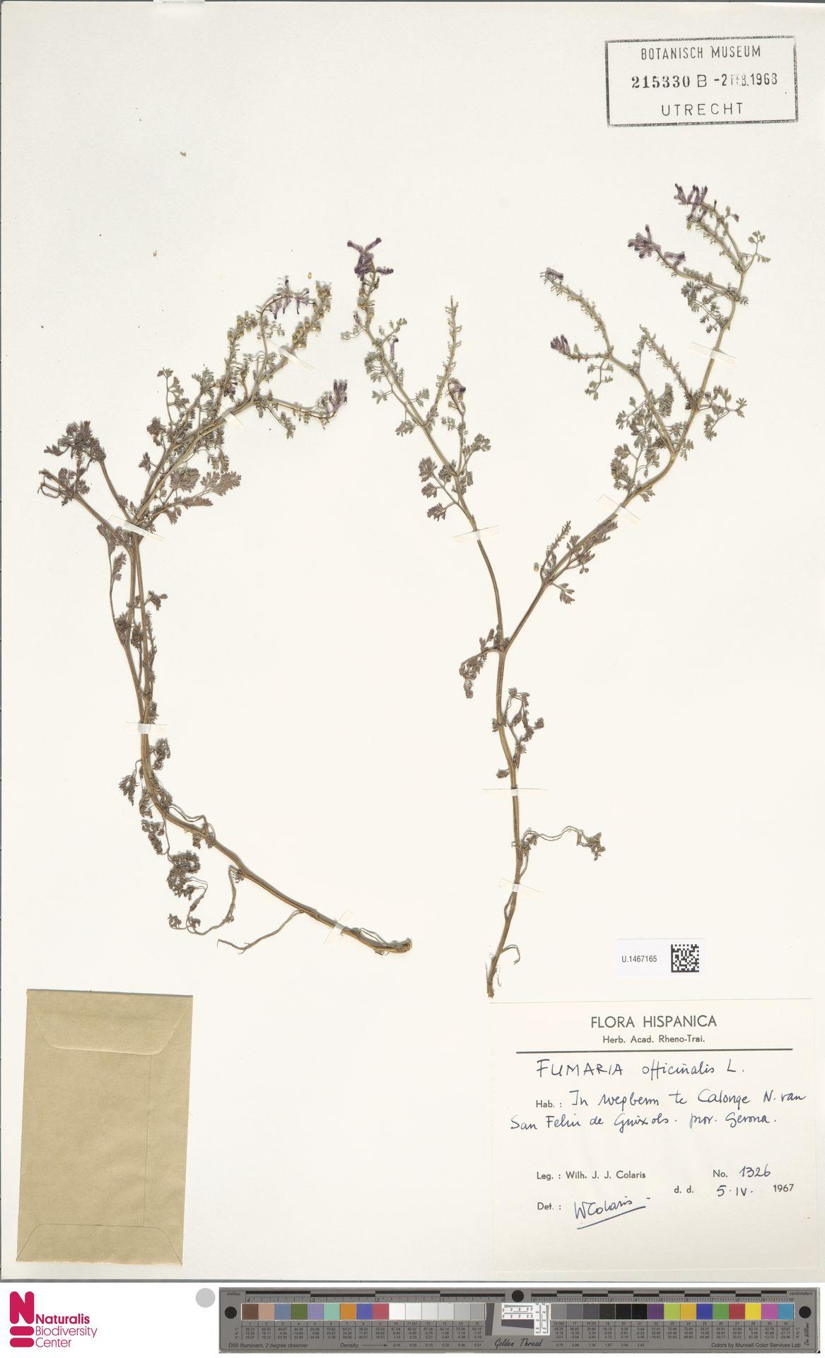 U.1467165 | Fumaria officinalis L.