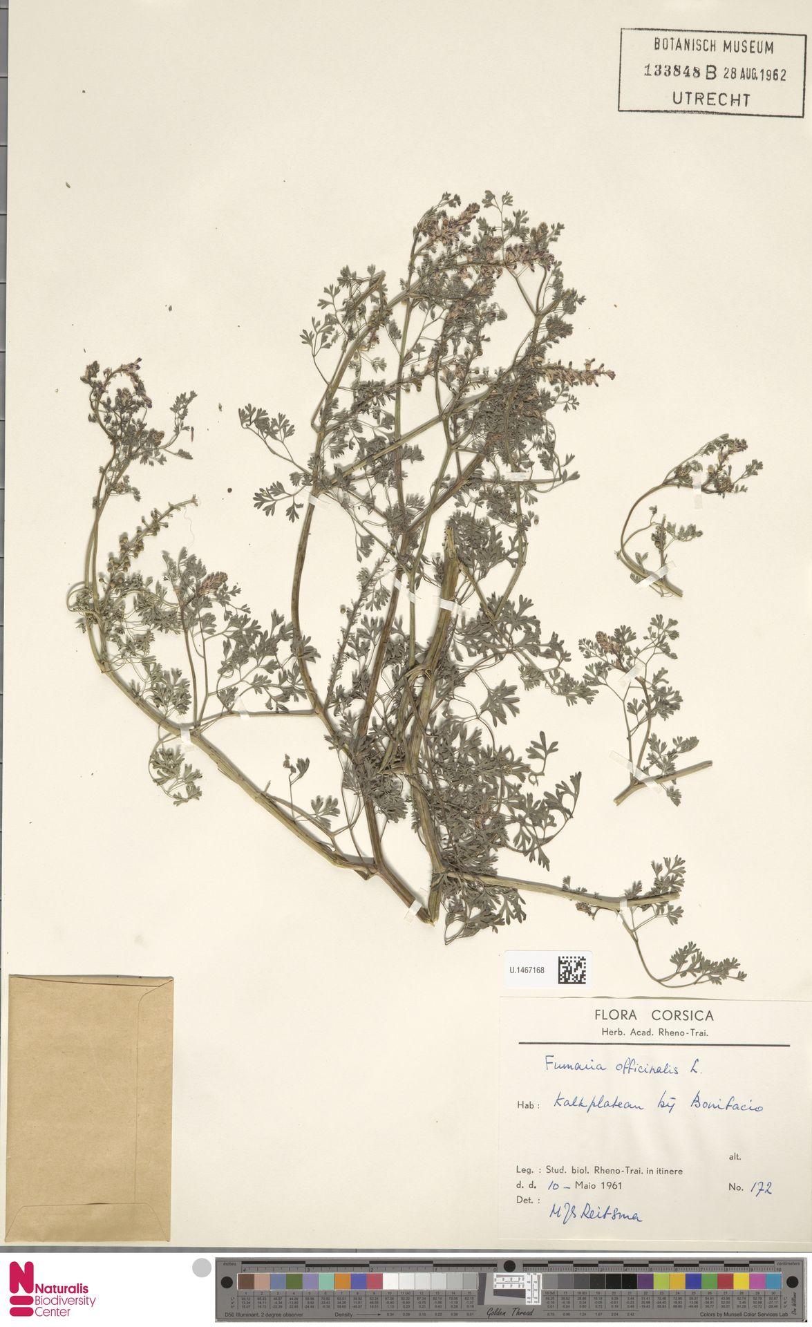 U.1467168 | Fumaria officinalis L.