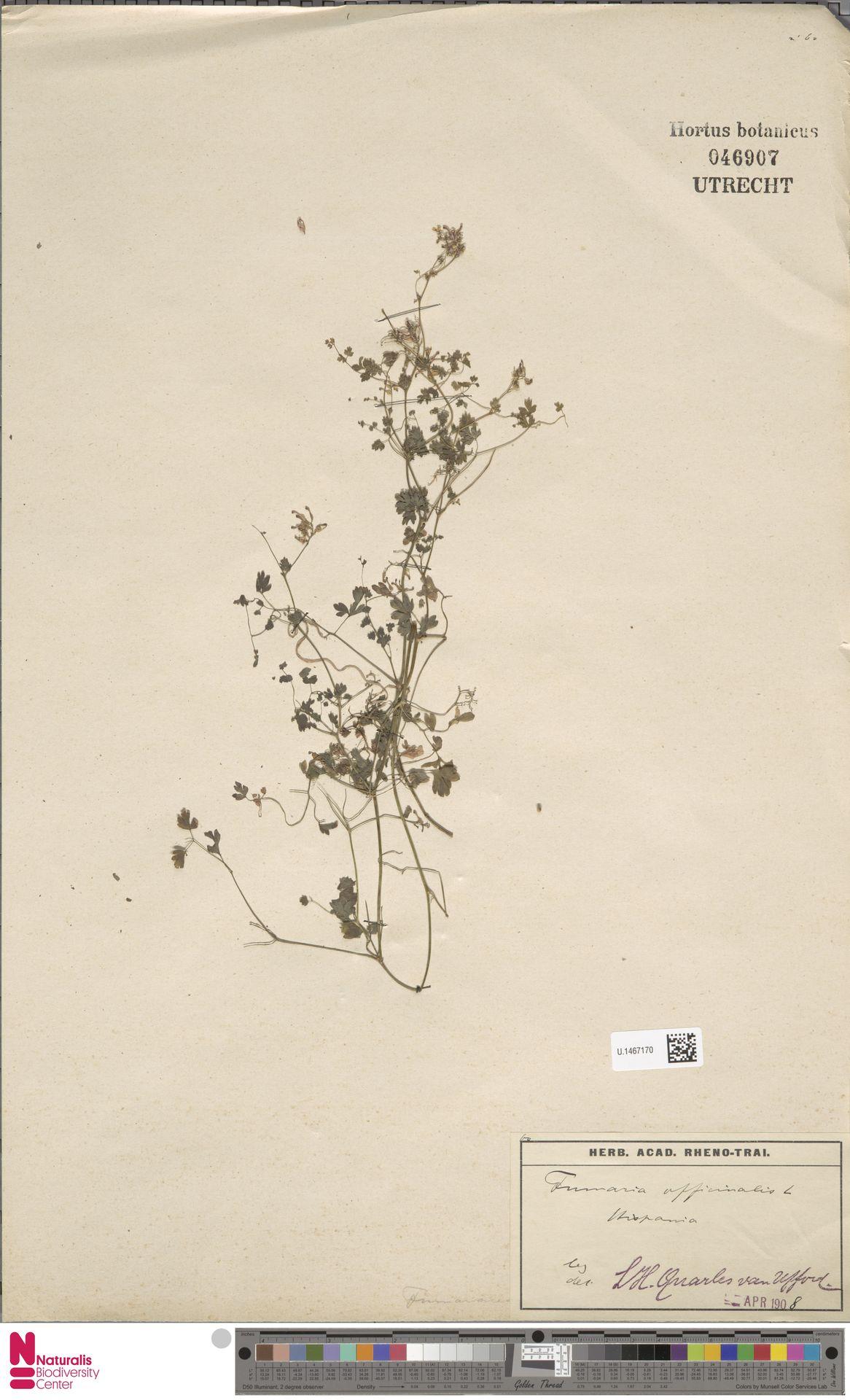 U.1467170 | Fumaria officinalis L.