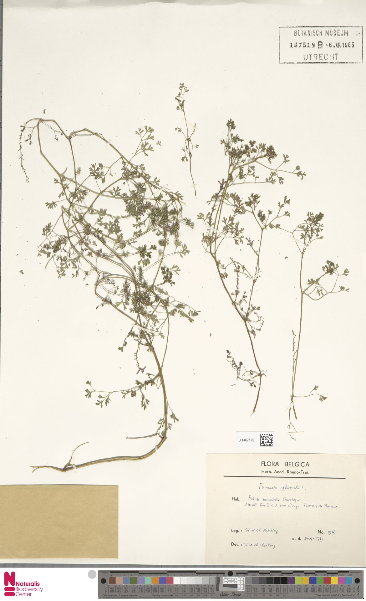 U.1467175 | Fumaria officinalis L.