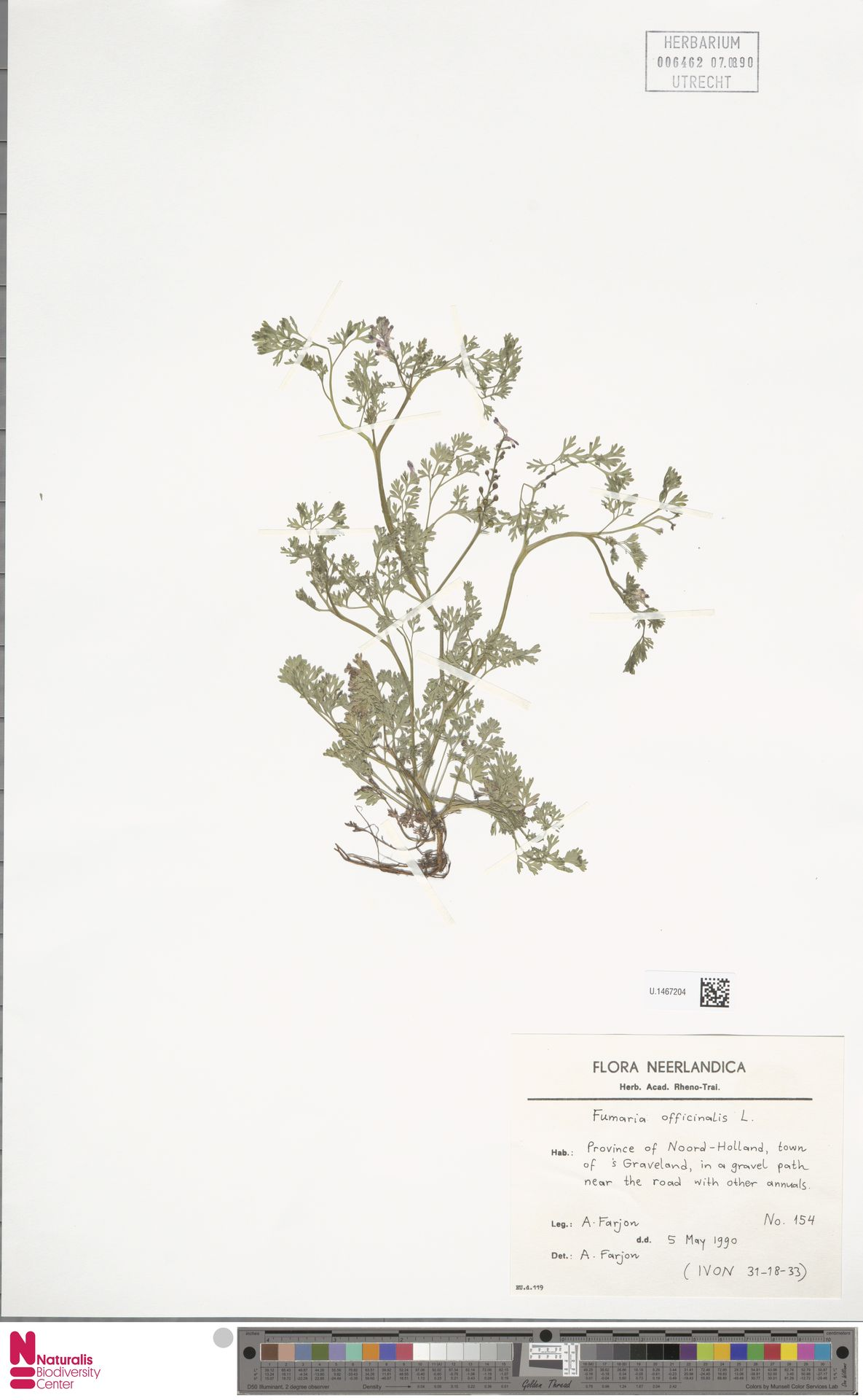 U.1467204 | Fumaria officinalis L.