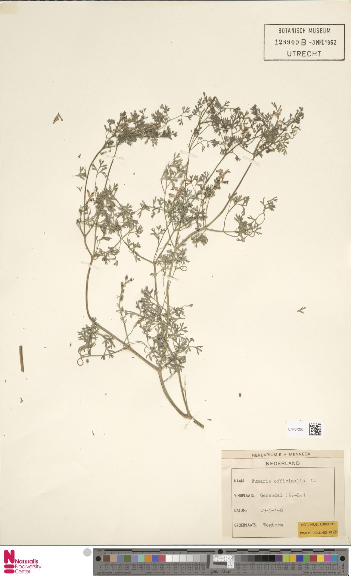 U.1467205 | Fumaria officinalis L.