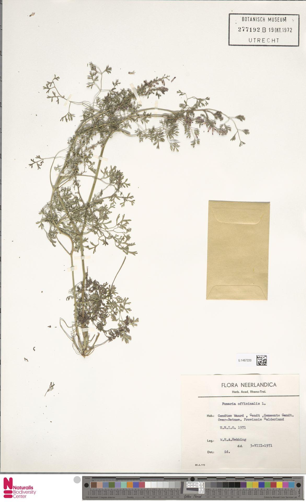 U.1467220 | Fumaria officinalis L.