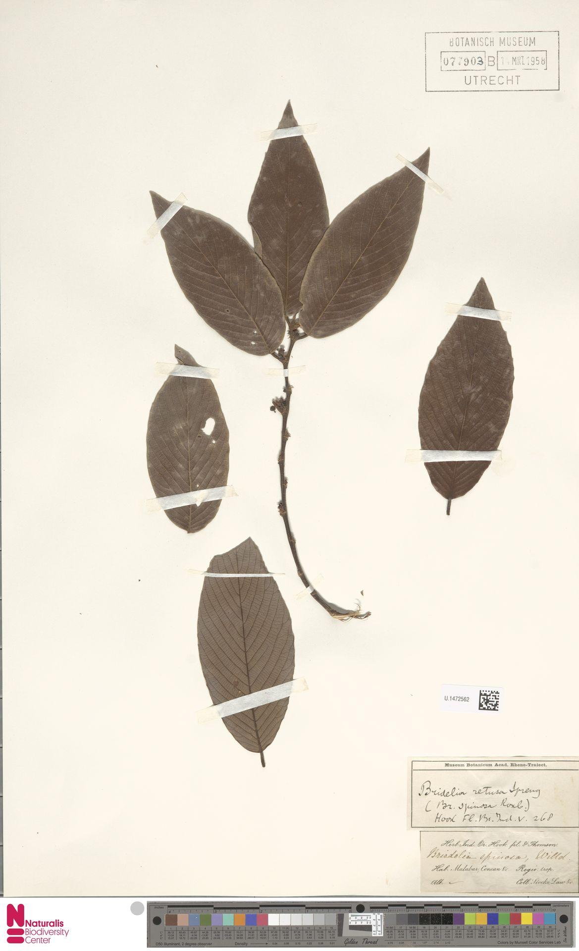 U.1472562 | Bridelia retusa (L.) A.Juss.