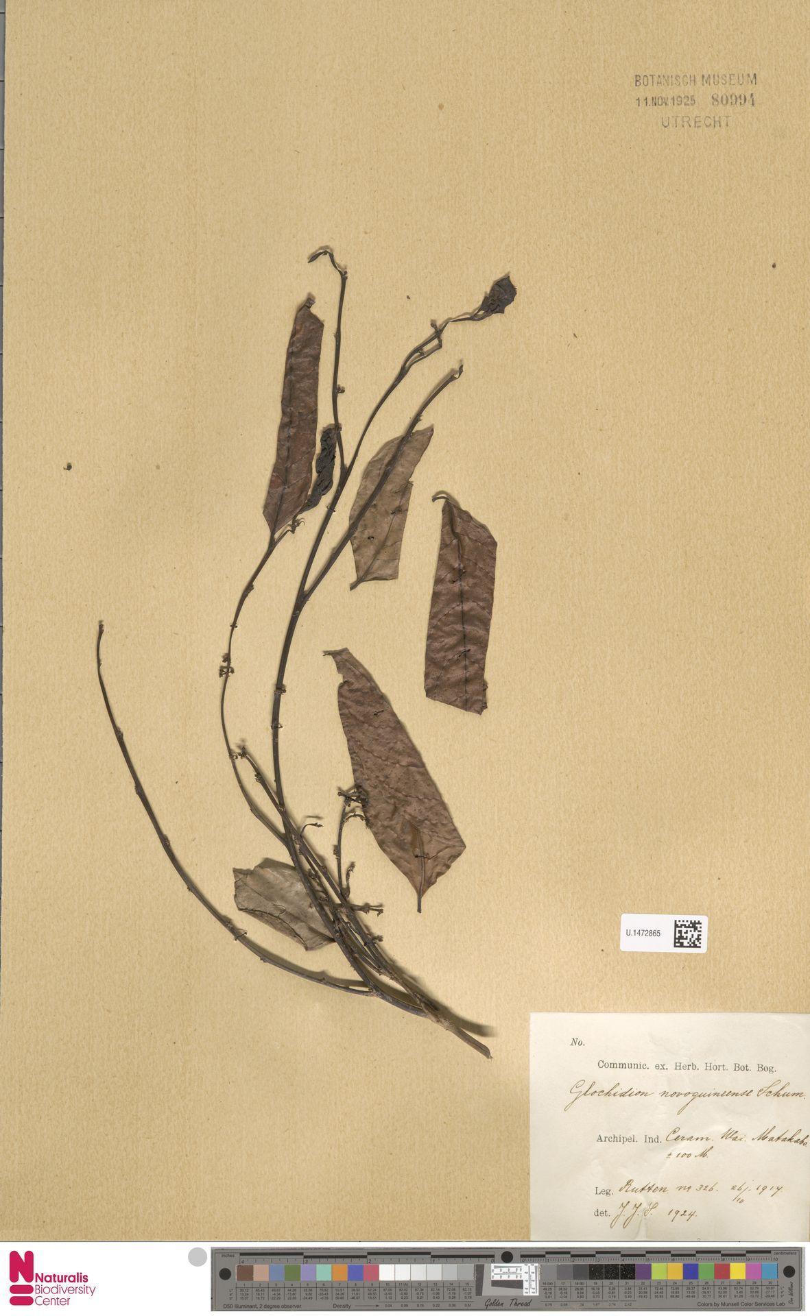 U.1472865 | Glochidion novoguineense K.Schum.