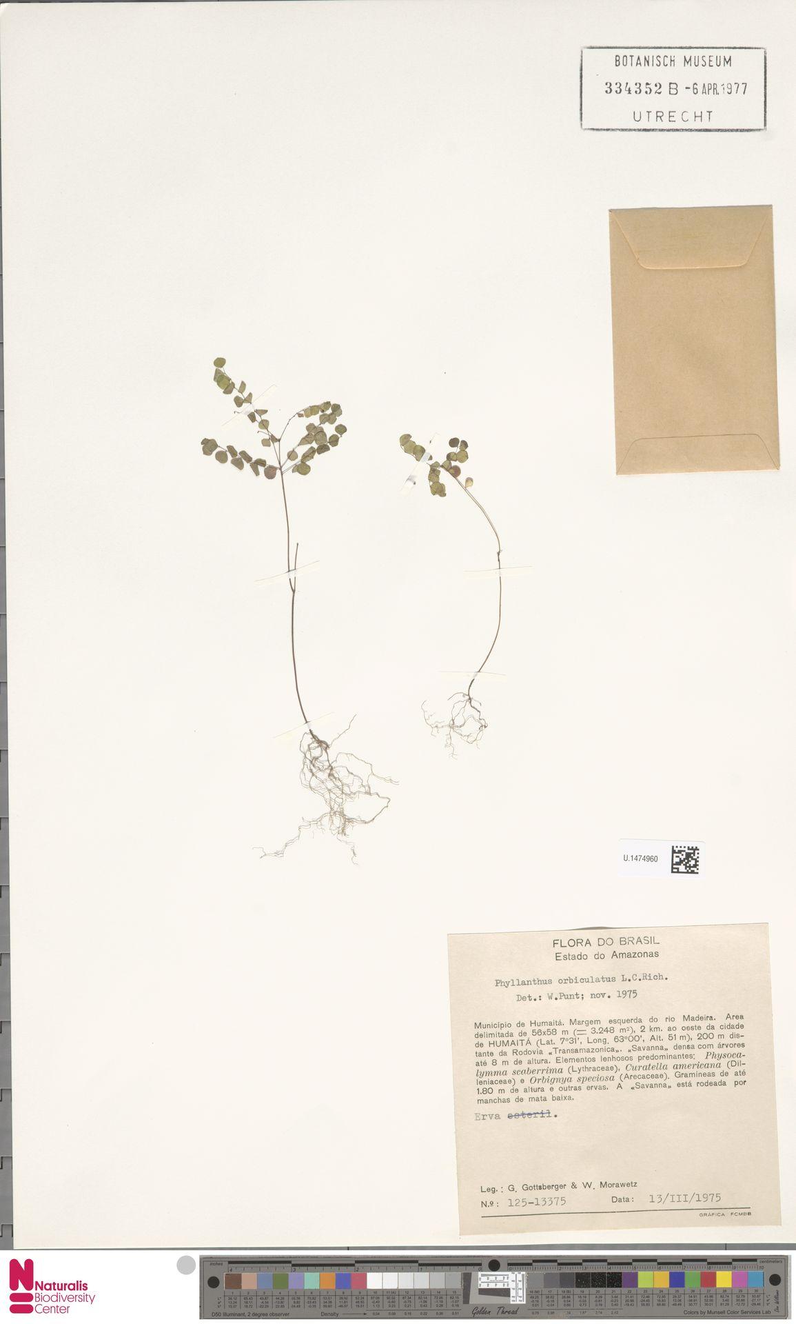 U.1474960 | Phyllanthus orbiculatus Rich.