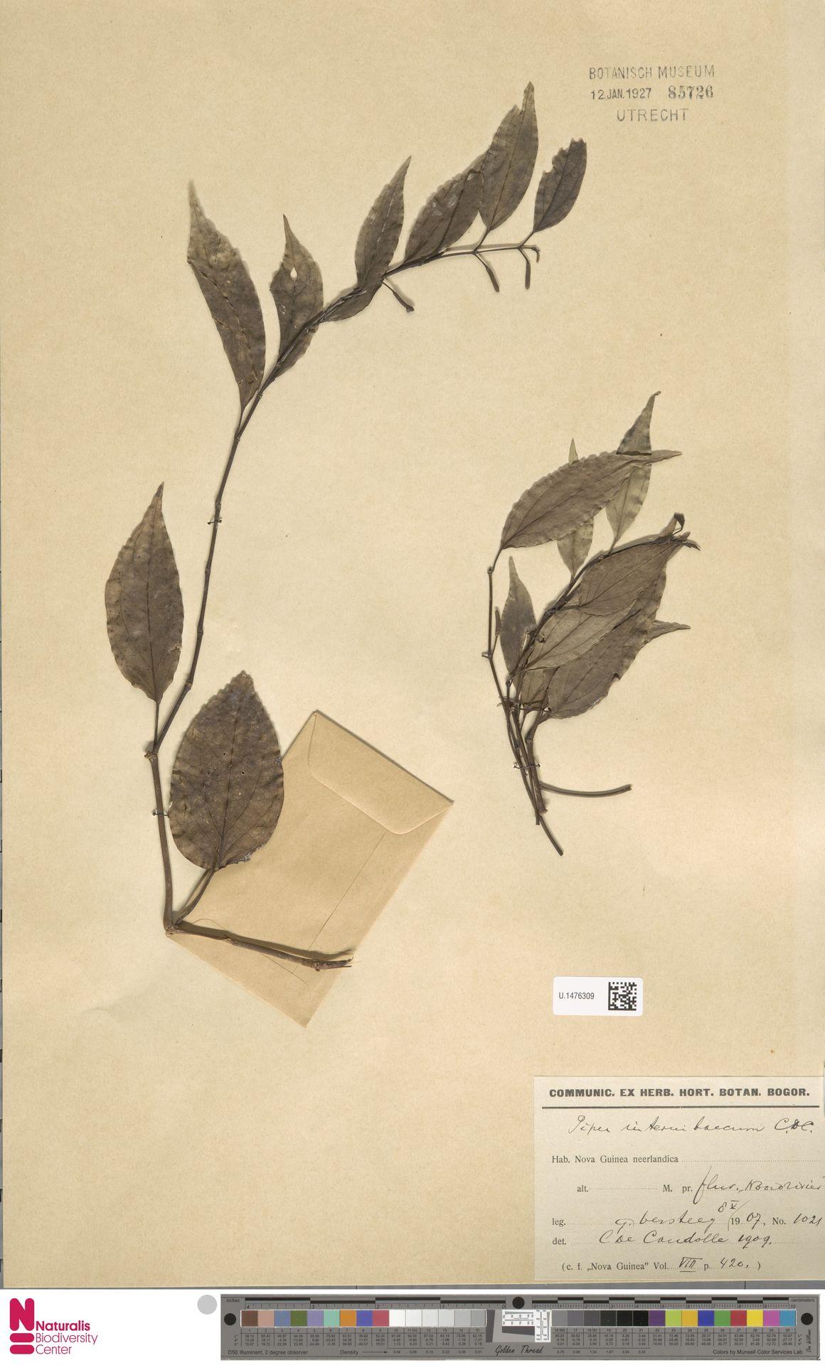 U.1476309 | Piper internibaccum C.DC.