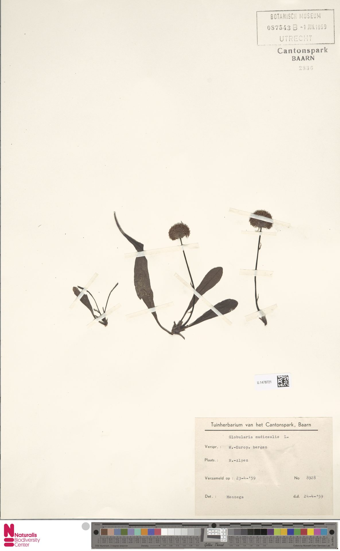 U.1478721 | Globularia nudicaulis L.