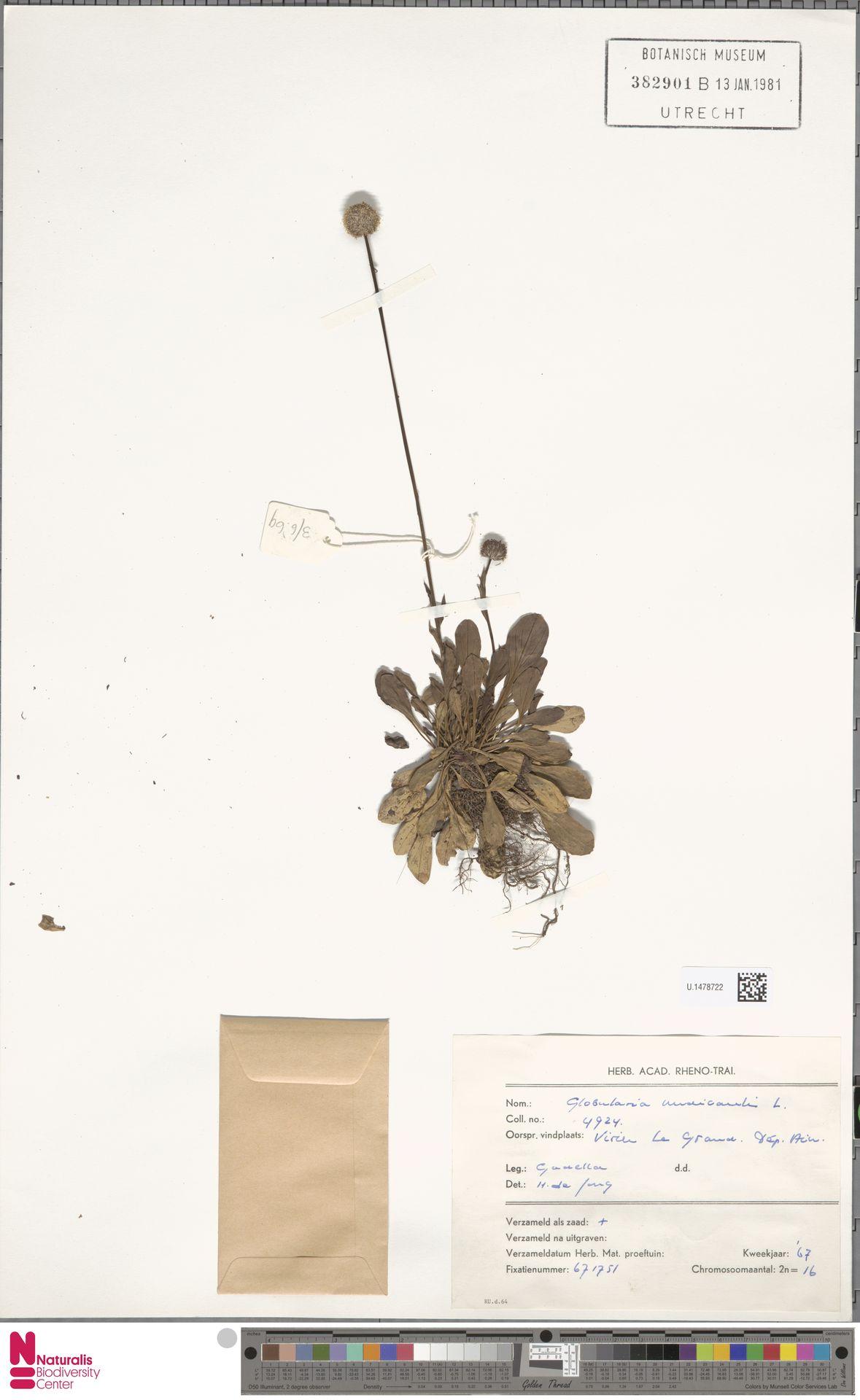 U.1478722 | Globularia nudicaulis L.