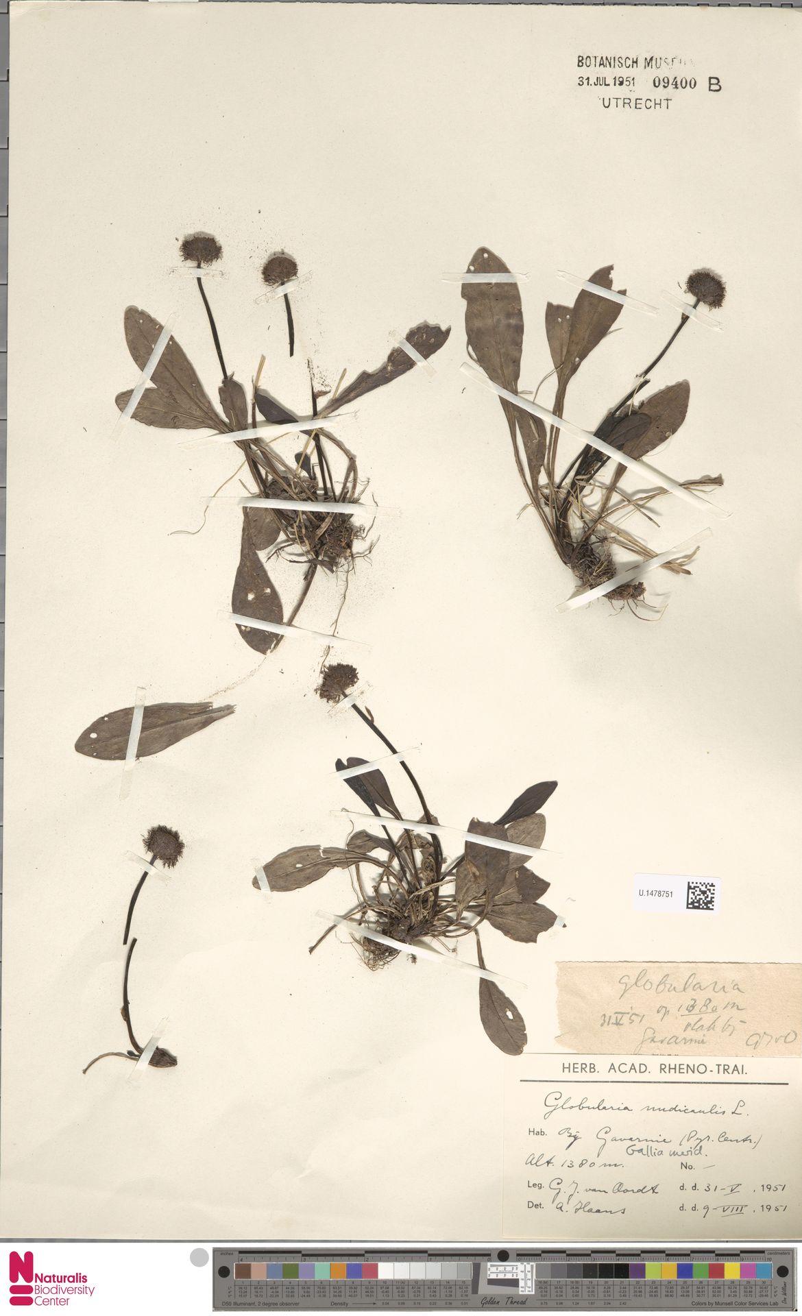 U.1478751 | Globularia nudicaulis L.