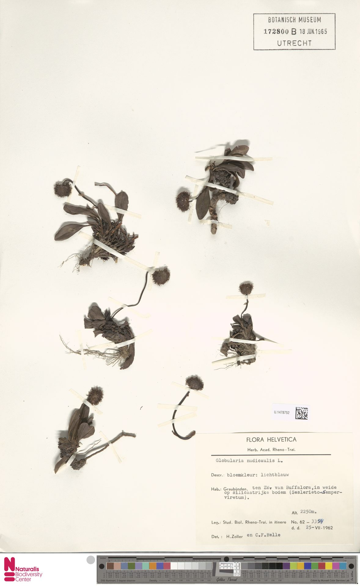 U.1478752 | Globularia nudicaulis L.