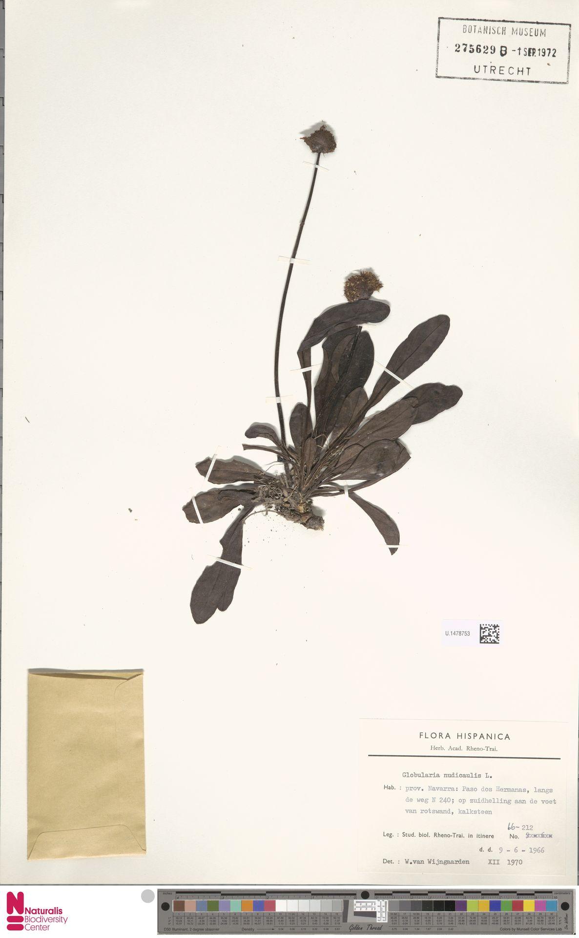 U.1478753   Globularia nudicaulis L.