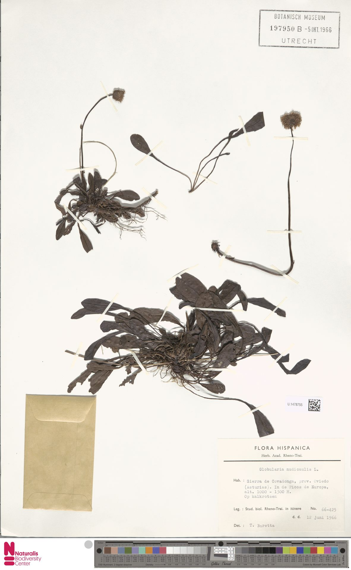 U.1478755 | Globularia nudicaulis L.