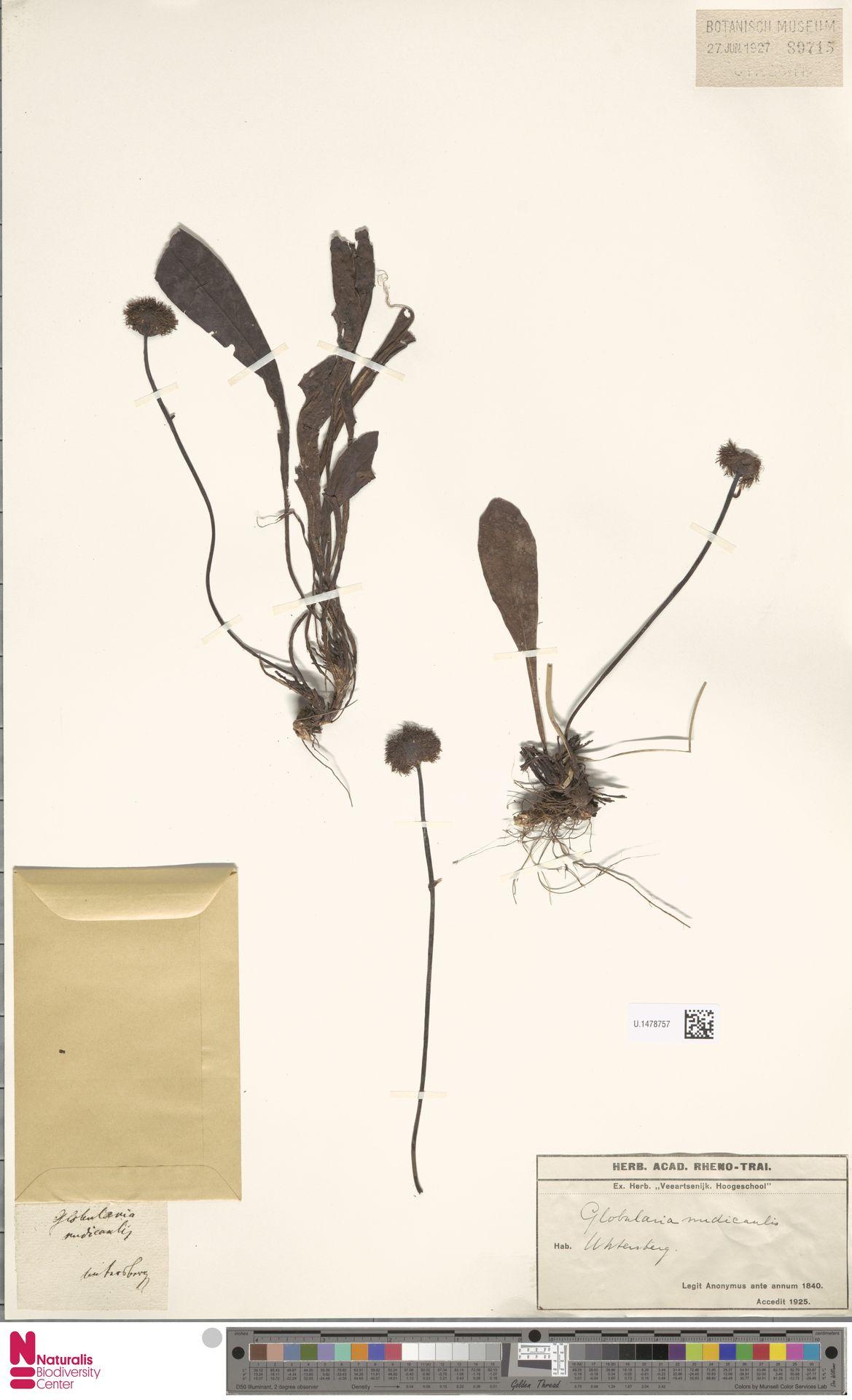 U.1478757 | Globularia nudicaulis L.