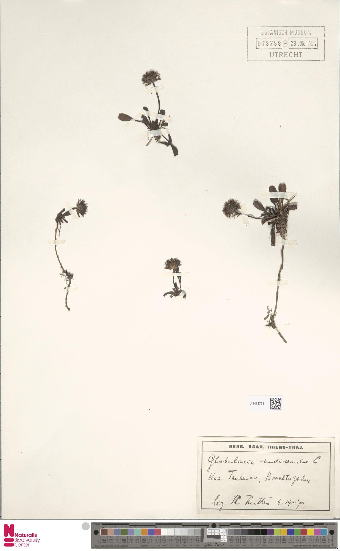 U.1478758 | Globularia nudicaulis L.