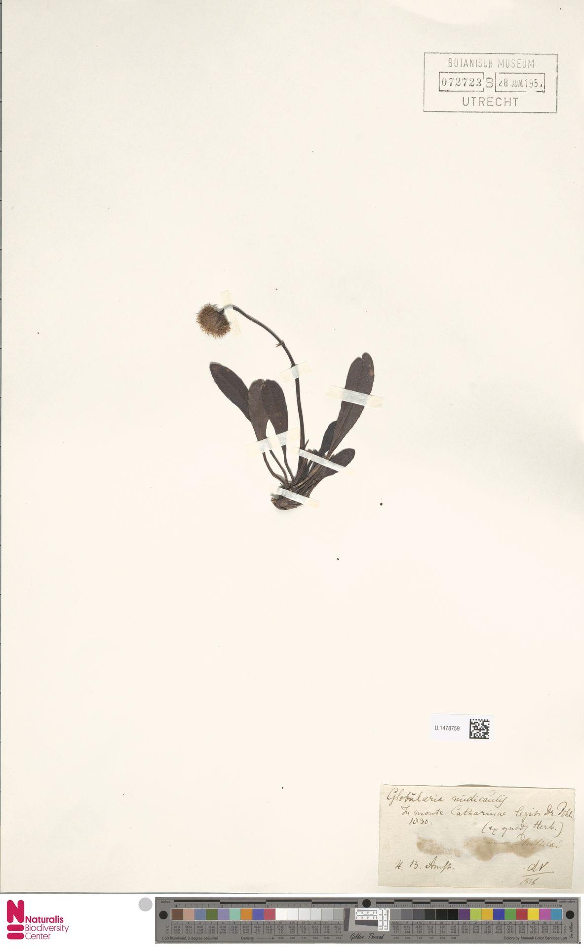 U.1478759 | Globularia nudicaulis L.
