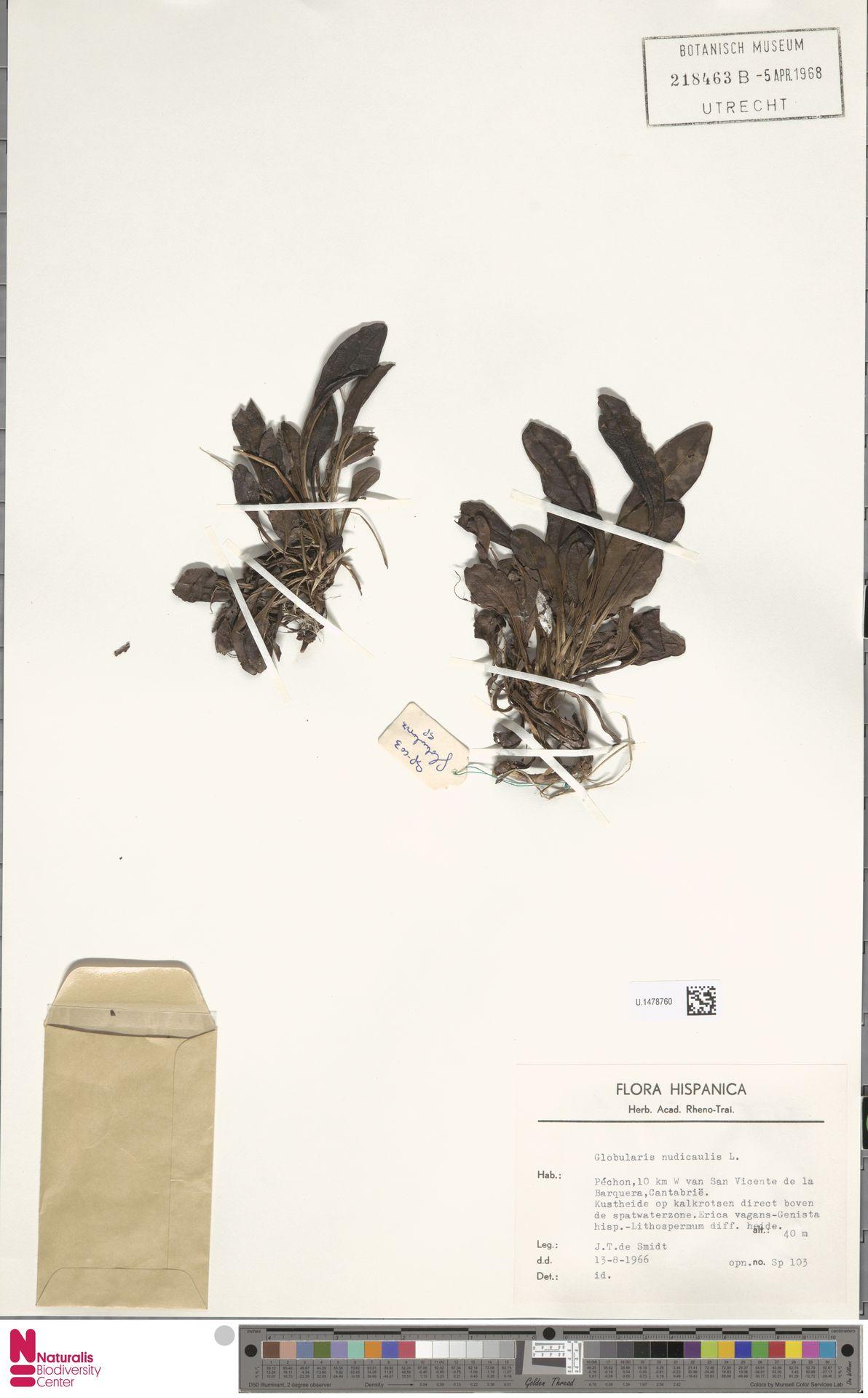 U.1478760 | Globularia nudicaulis L.