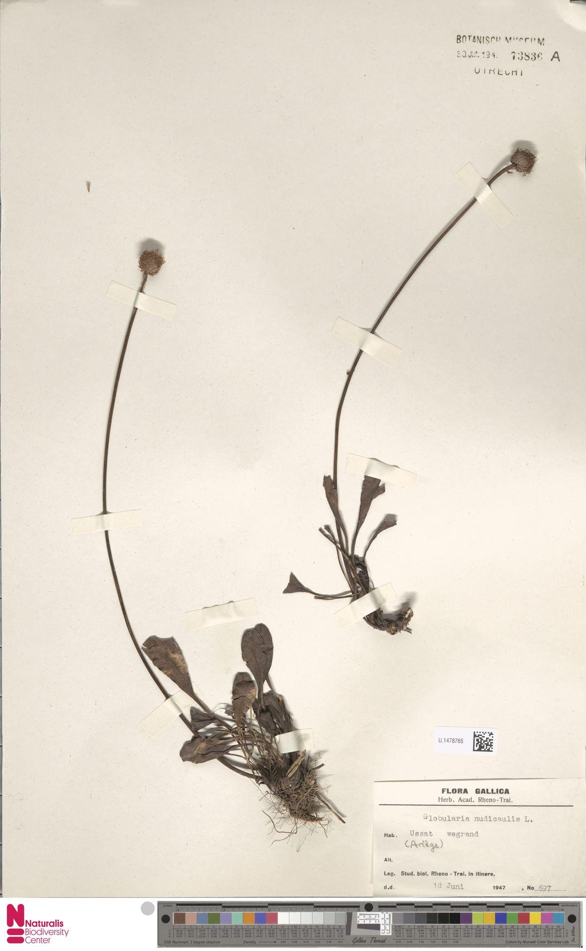U.1478765 | Globularia nudicaulis L.