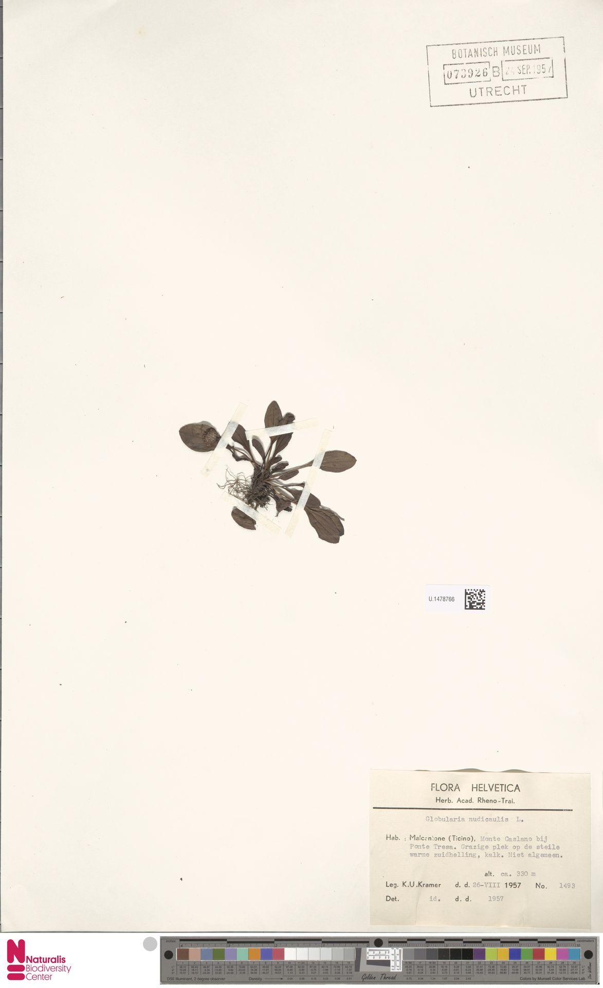 U.1478766 | Globularia nudicaulis L.