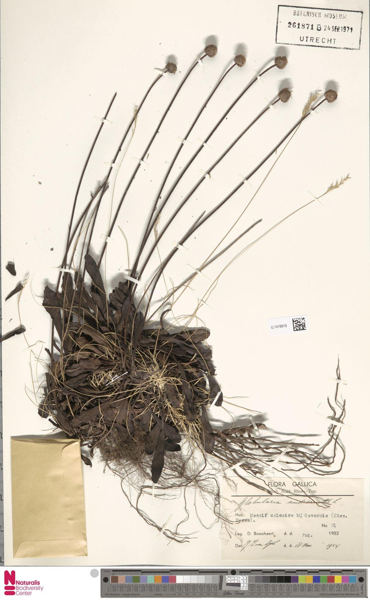 U.1478819 | Globularia nudicaulis L.