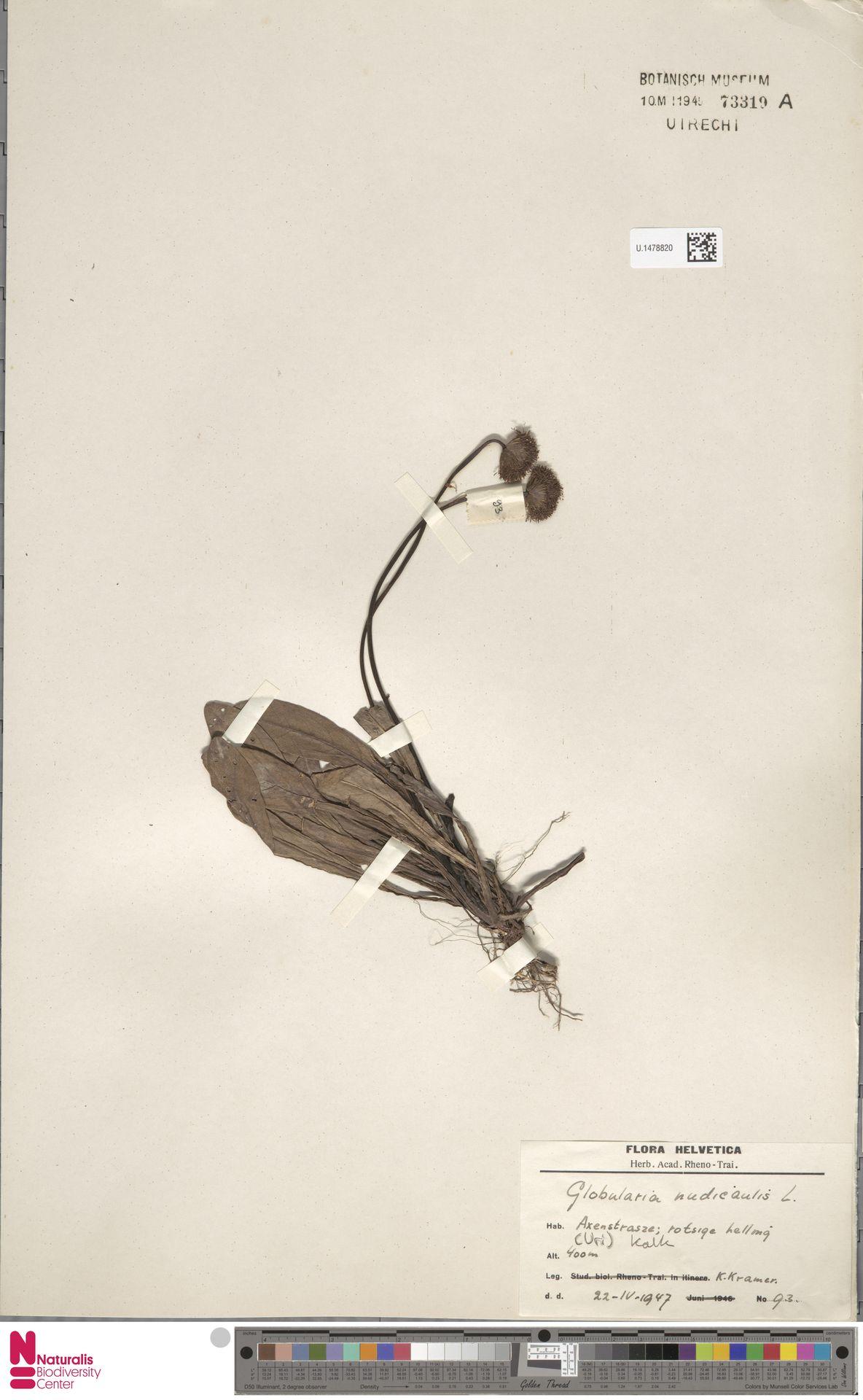 U.1478820 | Globularia nudicaulis L.