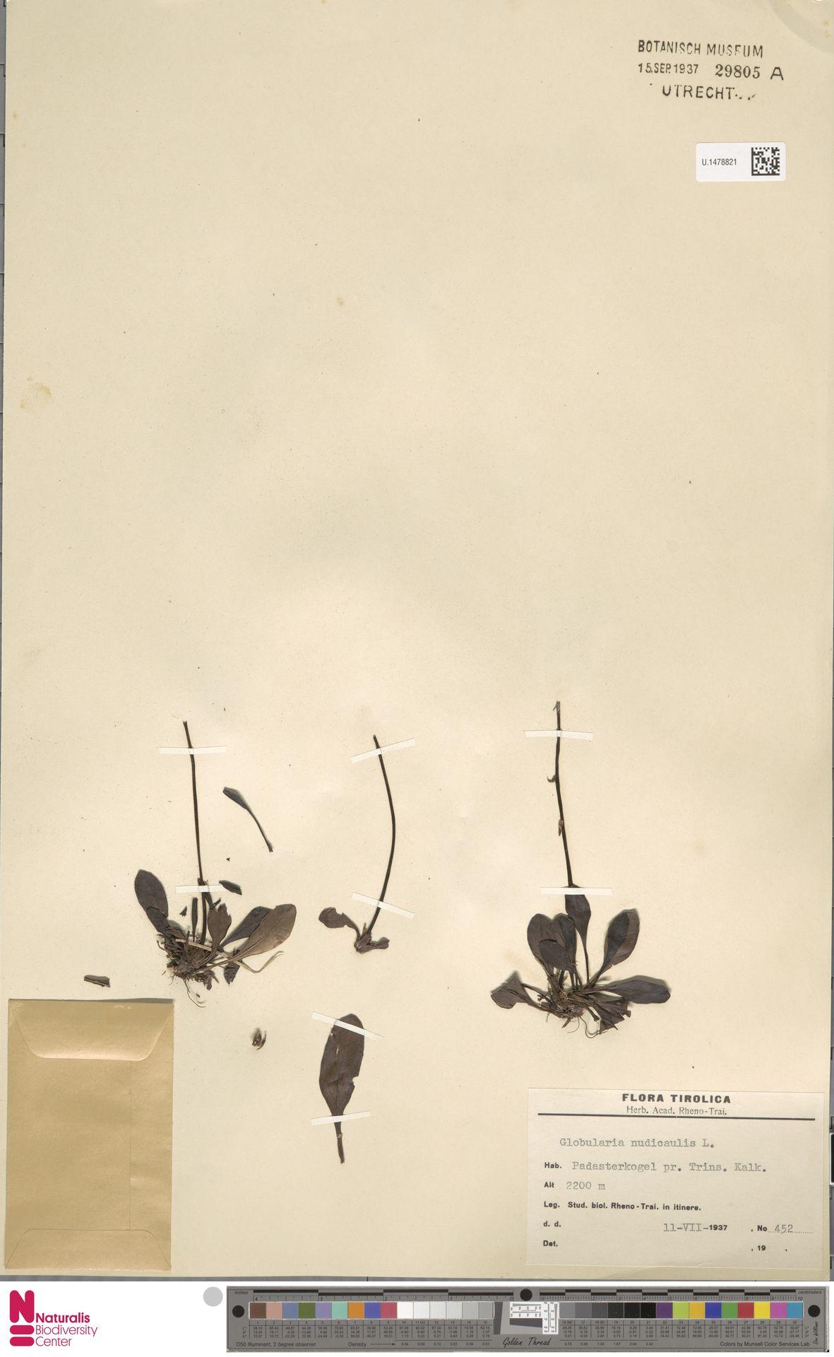 U.1478821 | Globularia nudicaulis L.