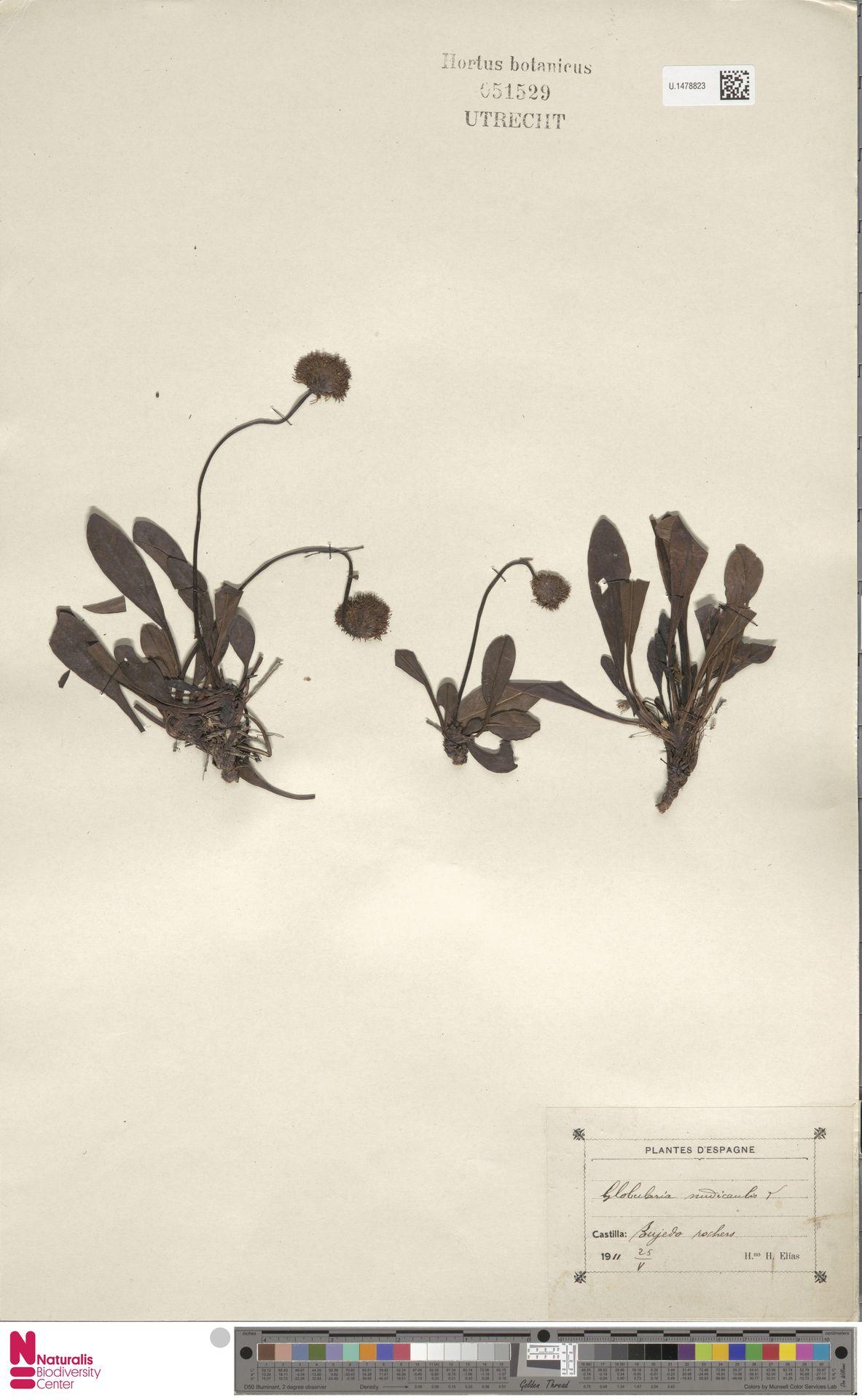 U.1478823 | Globularia nudicaulis L.