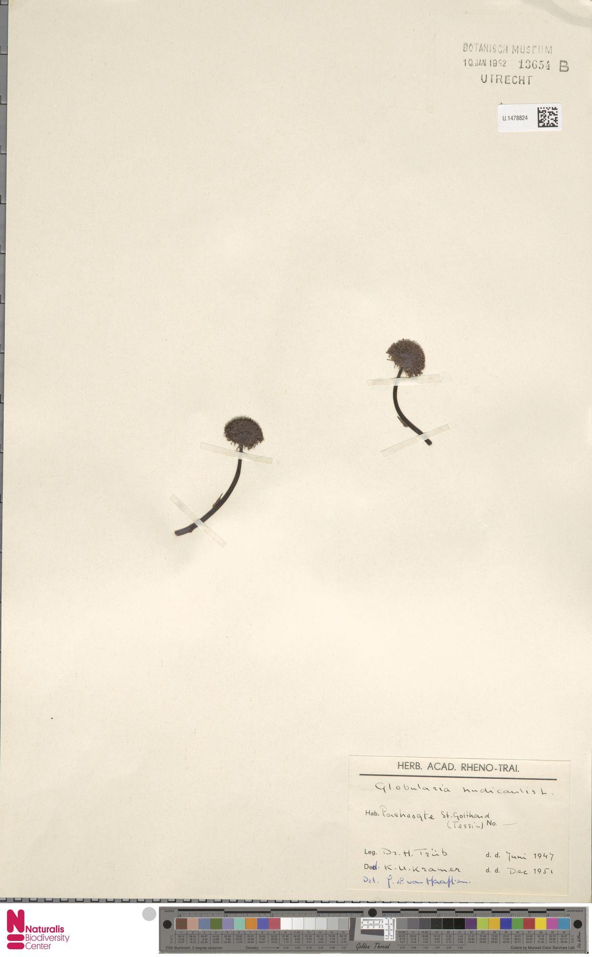 U.1478824 | Globularia nudicaulis L.