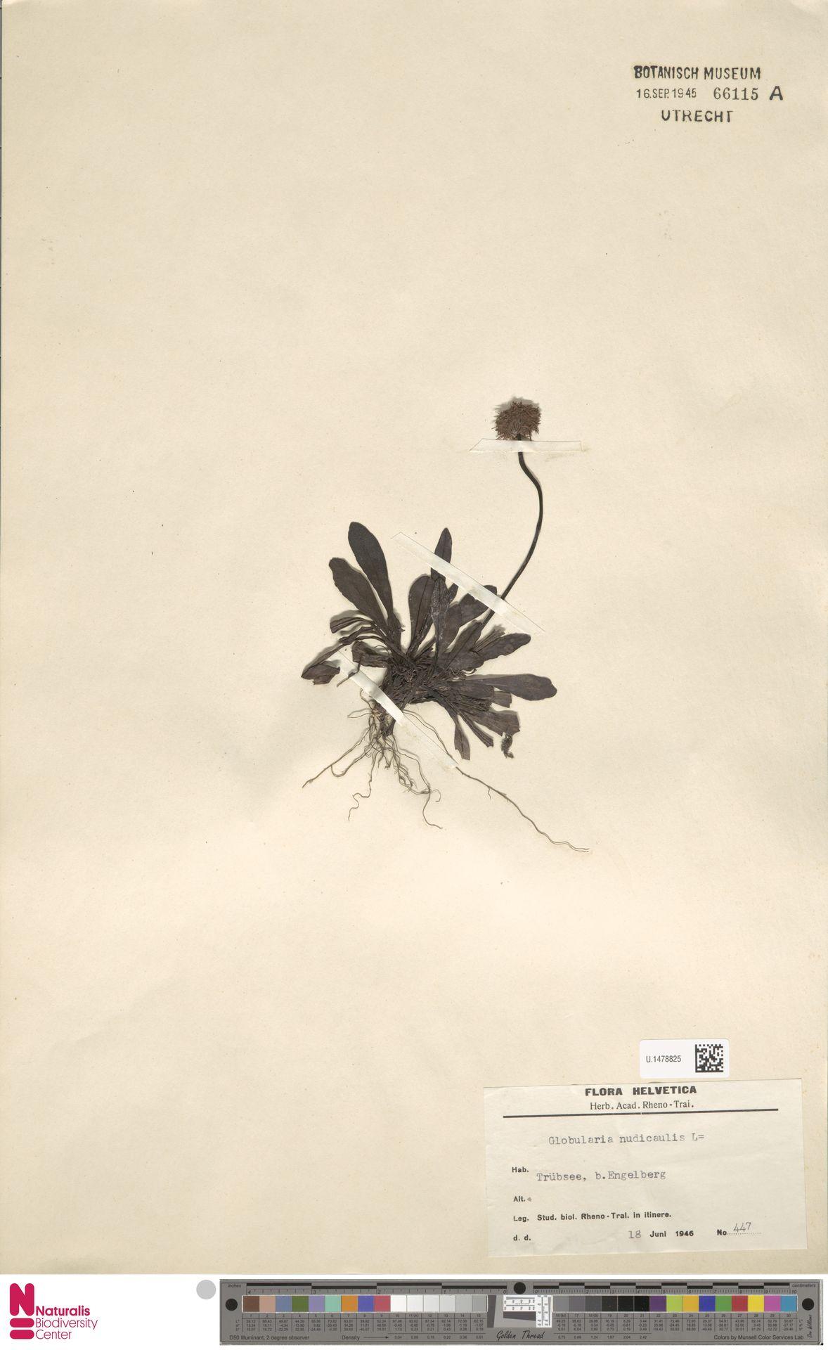 U.1478825 | Globularia nudicaulis L.