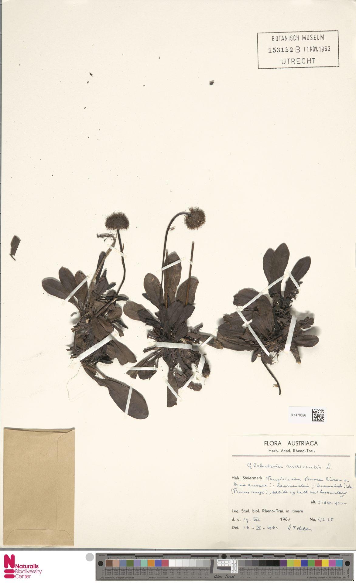 U.1478826 | Globularia nudicaulis L.