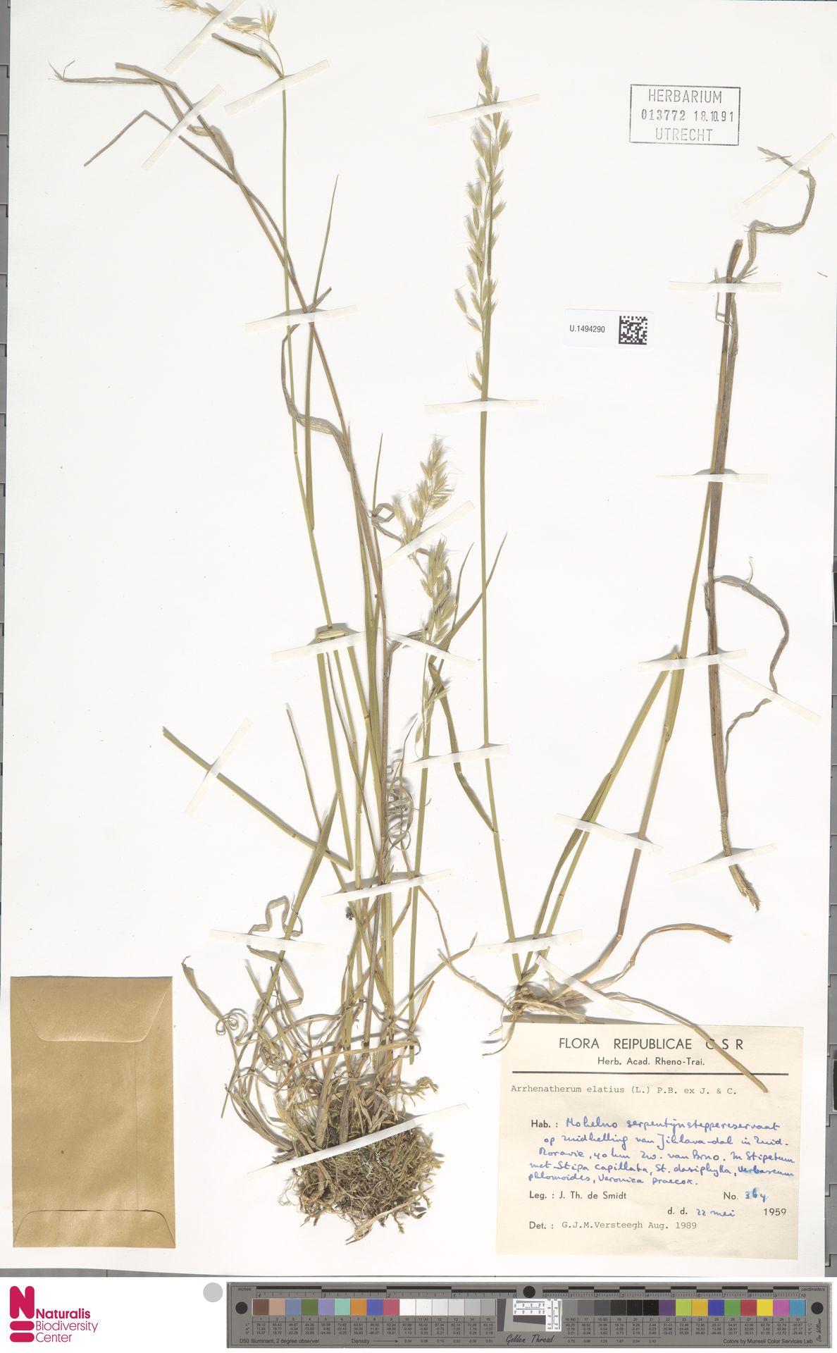 U.1494290 | Arrhenatherum elatius (L.) P.Beauv. ex J.Presl & C.Presl