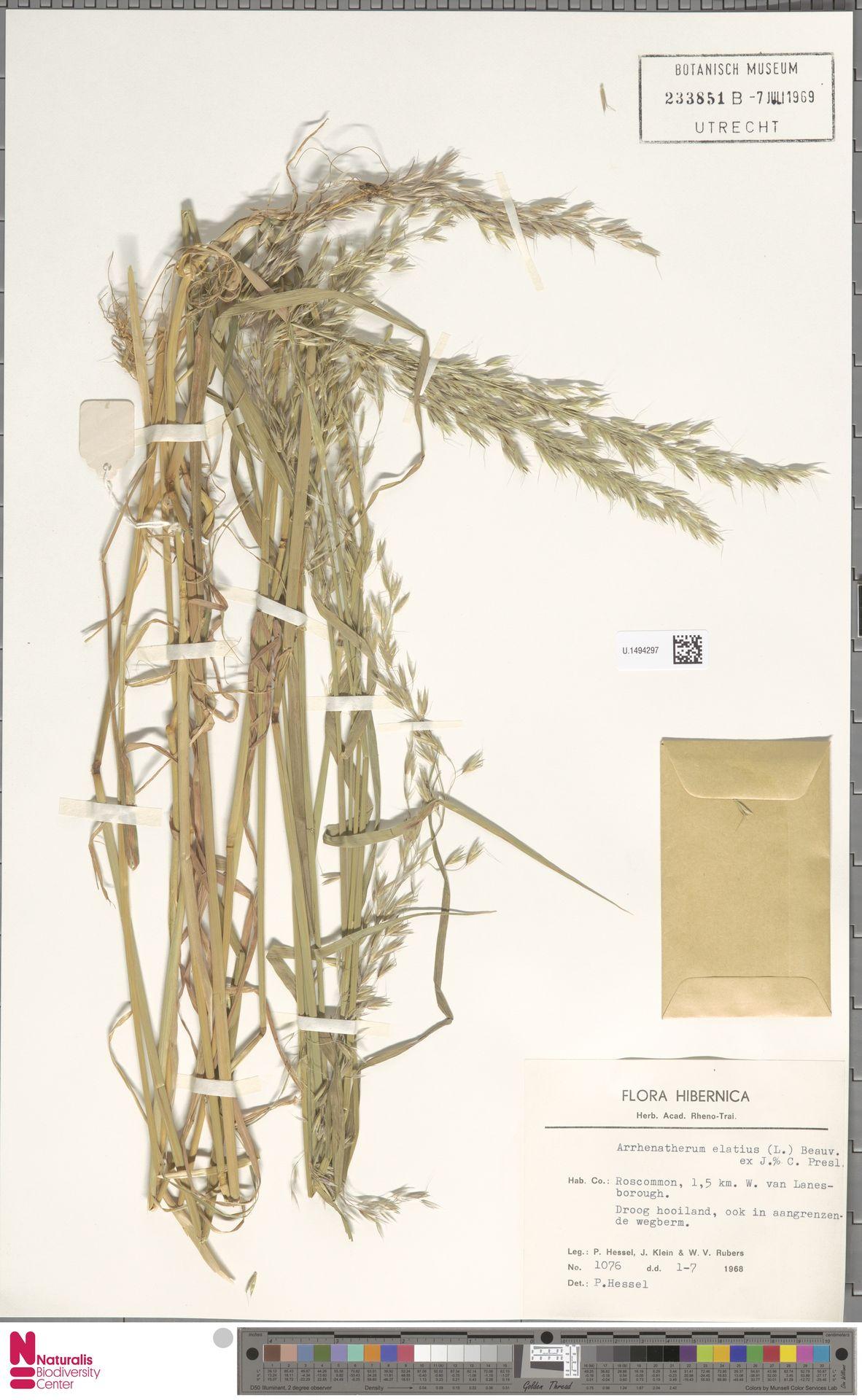 U.1494297 | Arrhenatherum elatius (L.) P.Beauv. ex J.Presl & C.Presl