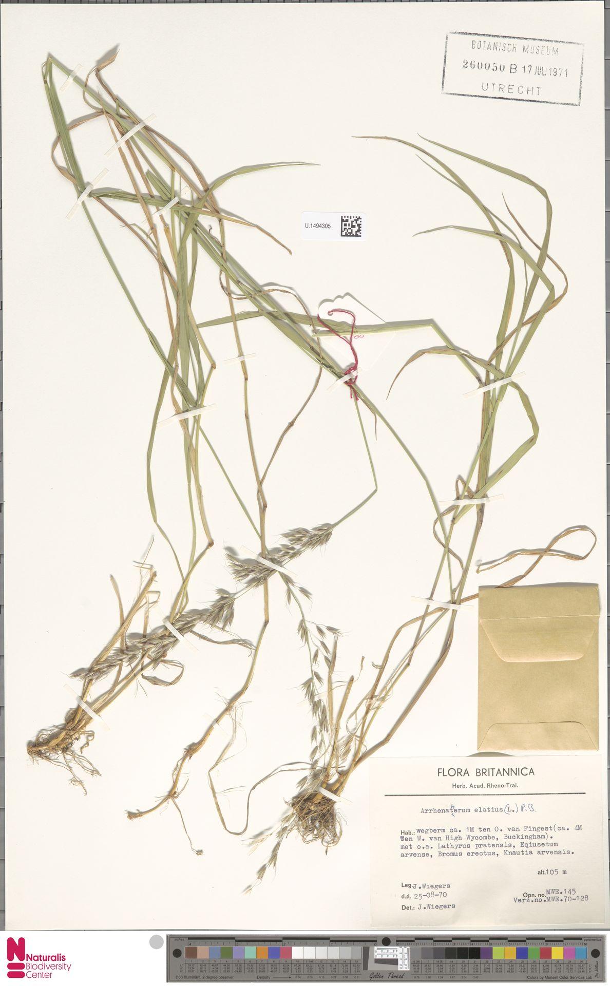 U.1494305   Arrhenatherum elatius (L.) P.Beauv. ex J.Presl & C.Presl