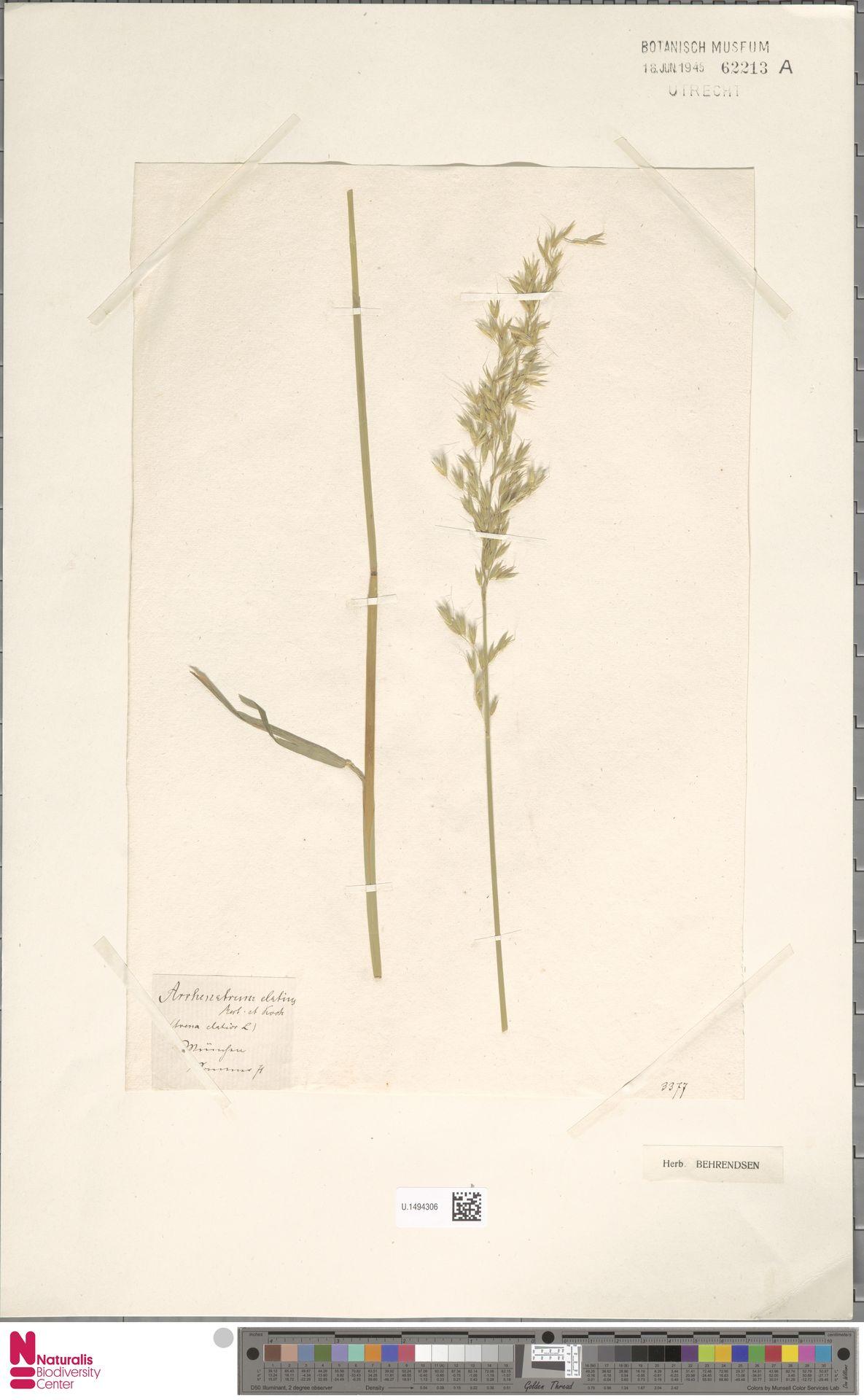 U.1494306 | Arrhenatherum elatius (L.) P.Beauv. ex J.Presl & C.Presl