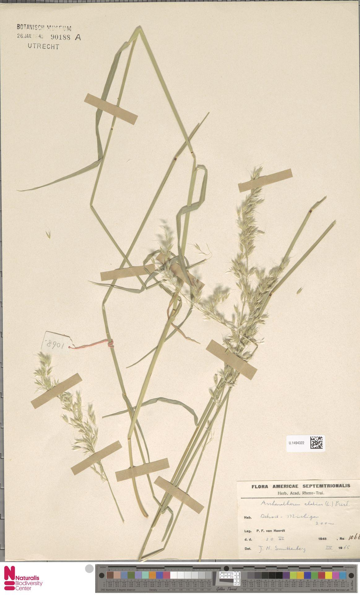 U.1494322   Arrhenatherum elatius (L.) P.Beauv. ex J.Presl & C.Presl