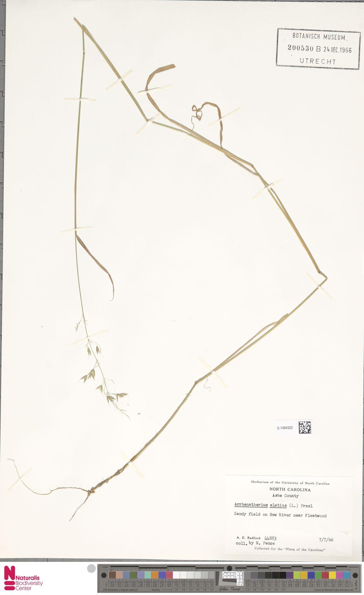 U.1494323   Arrhenatherum elatius (L.) P.Beauv. ex J.Presl & C.Presl