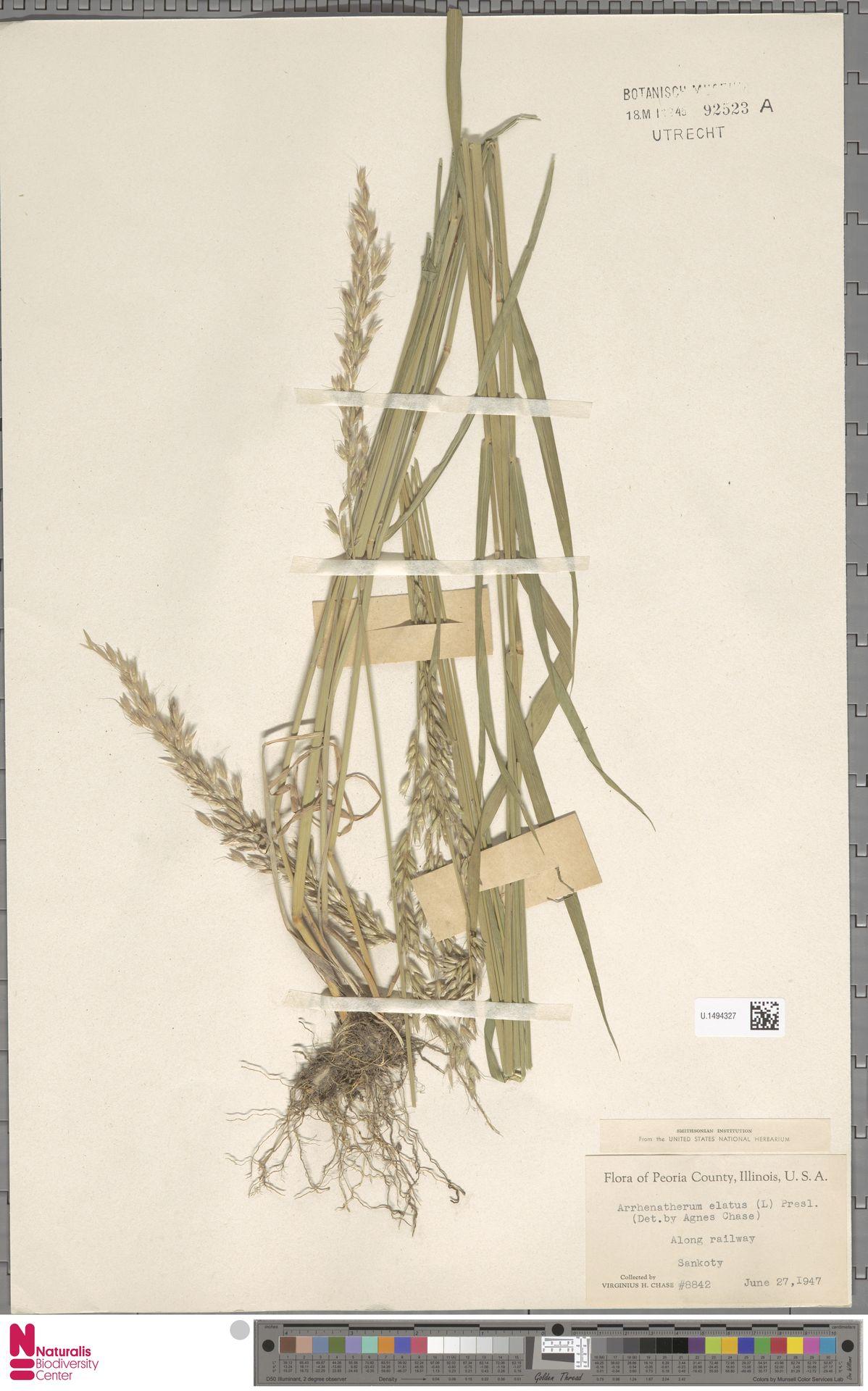 U.1494327   Arrhenatherum elatius (L.) P.Beauv. ex J.Presl & C.Presl