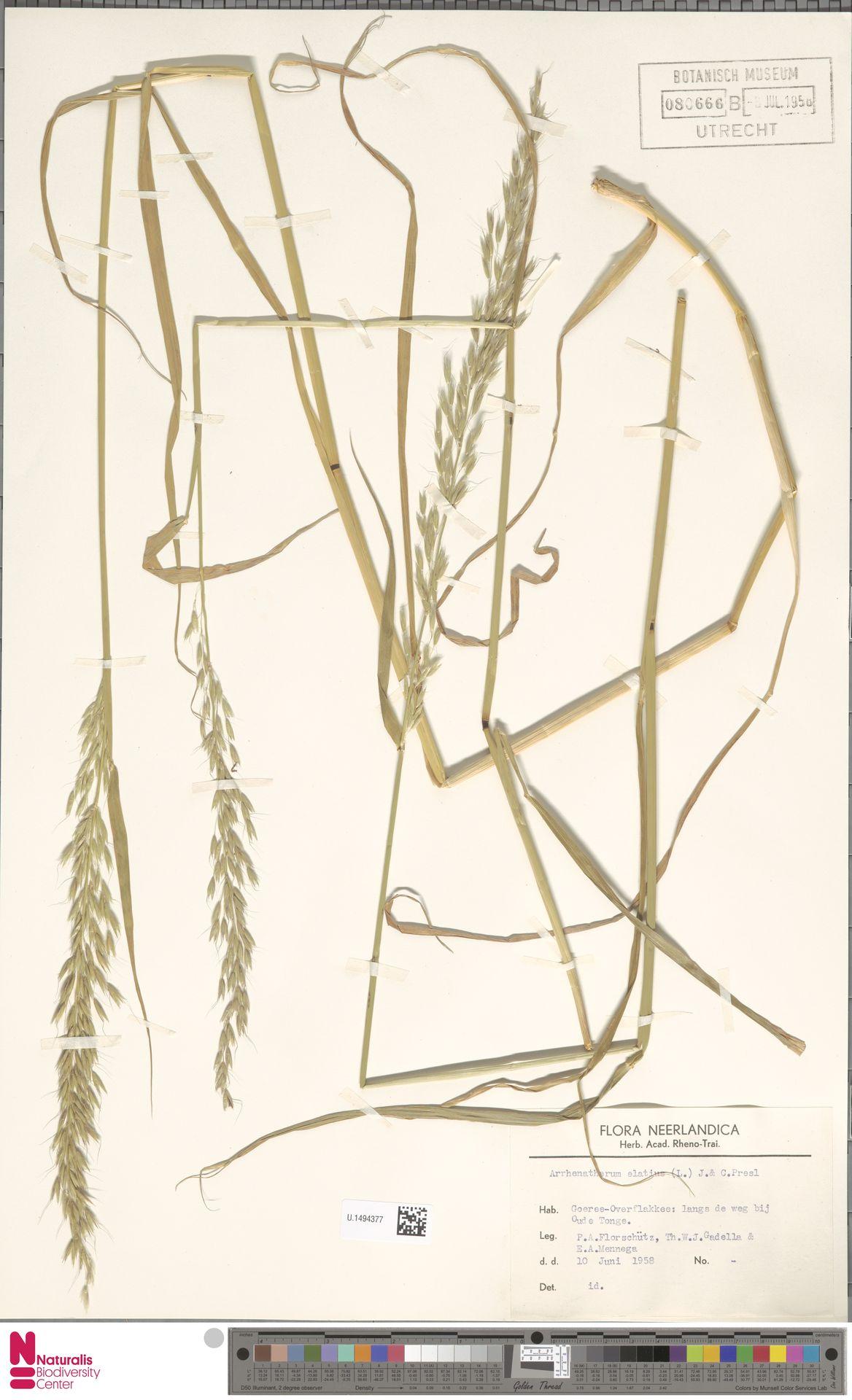U.1494377 | Arrhenatherum elatius (L.) P.Beauv. ex J.Presl & C.Presl