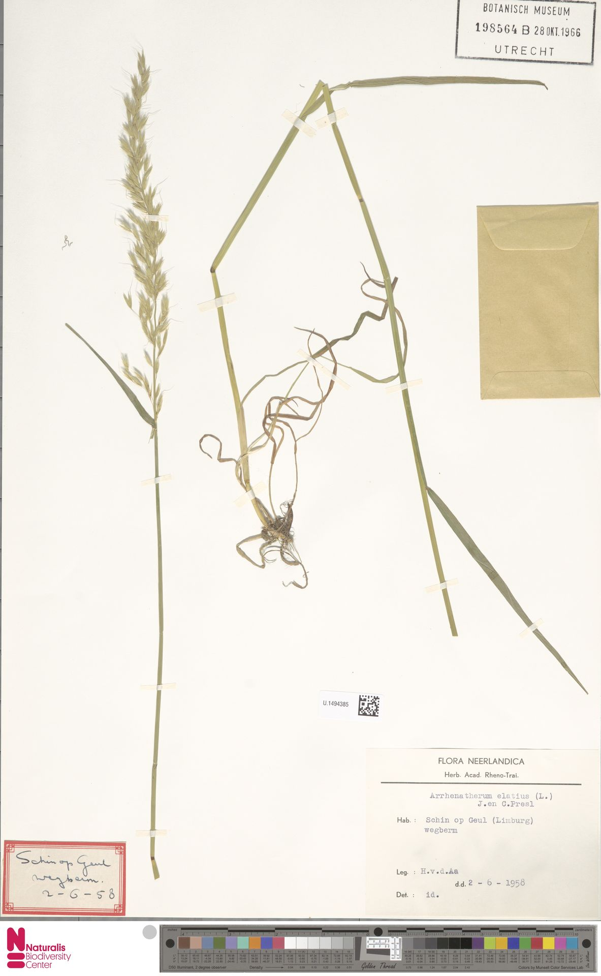 U.1494385 | Arrhenatherum elatius (L.) P.Beauv. ex J.Presl & C.Presl