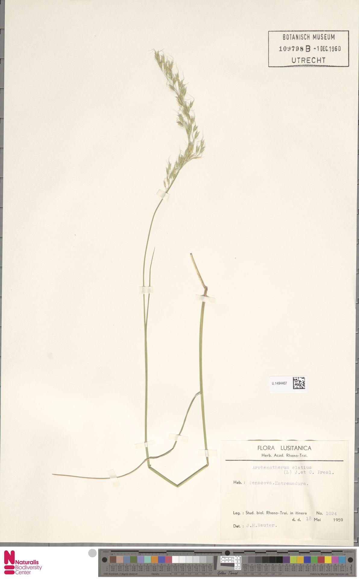 U.1494407 | Arrhenatherum elatius (L.) P.Beauv. ex J.Presl & C.Presl