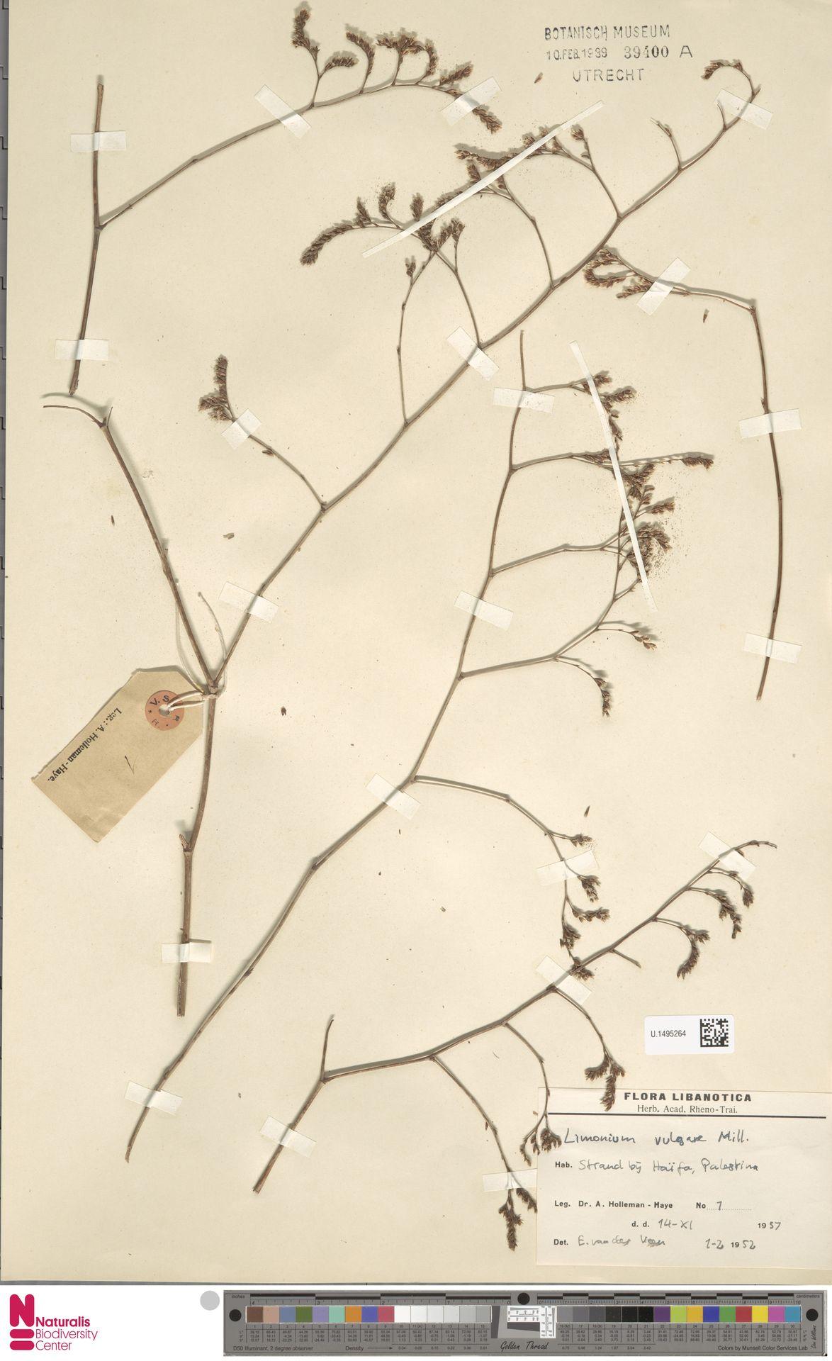 U.1495264 | Limonium vulgare Mill.