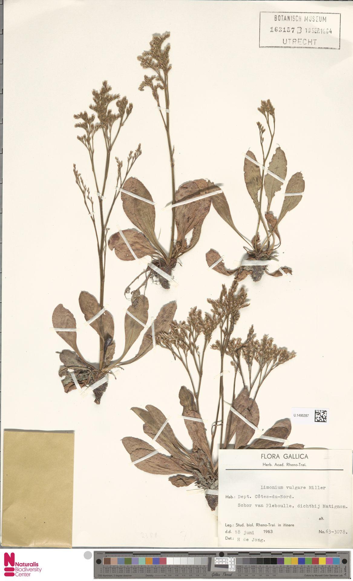 U.1495287 | Limonium vulgare Mill.