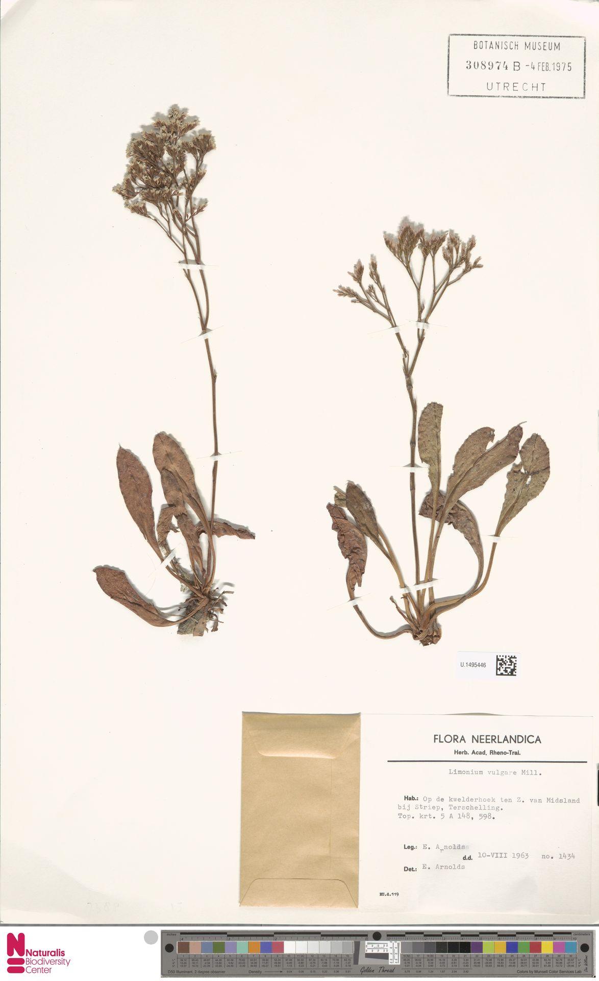 U.1495446 | Limonium vulgare Mill.