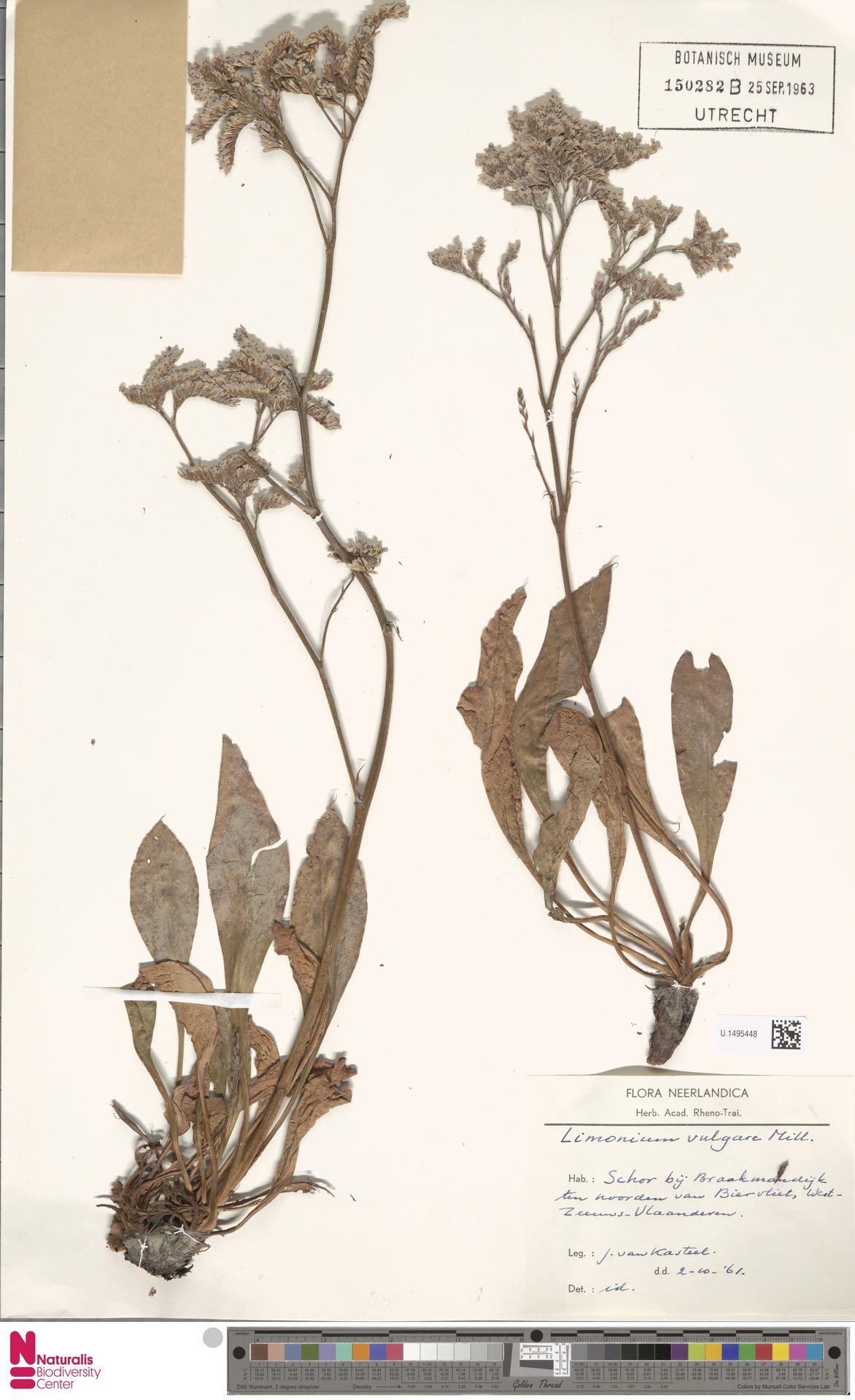 U.1495448 | Limonium vulgare Mill.