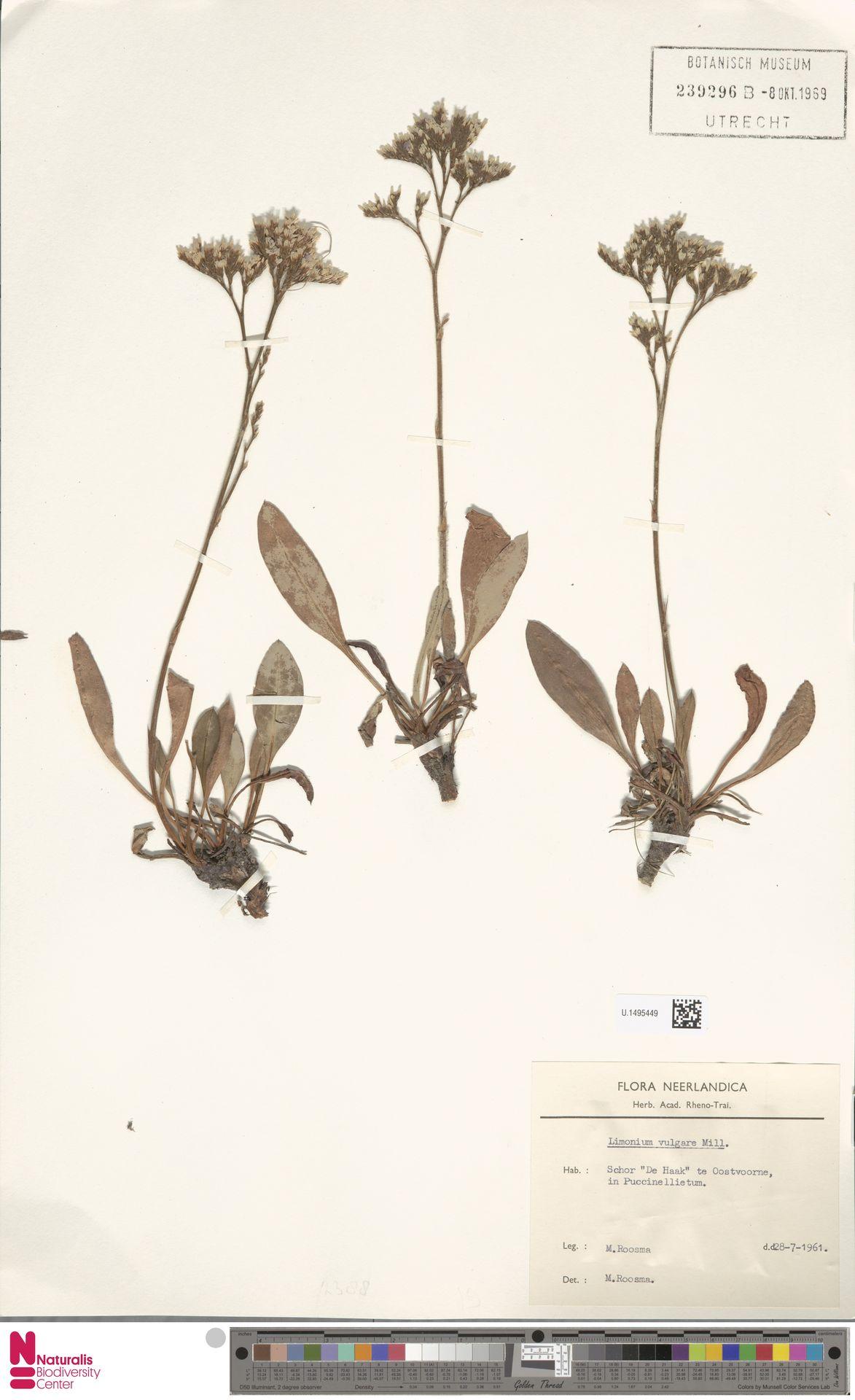 U.1495449 | Limonium vulgare Mill.