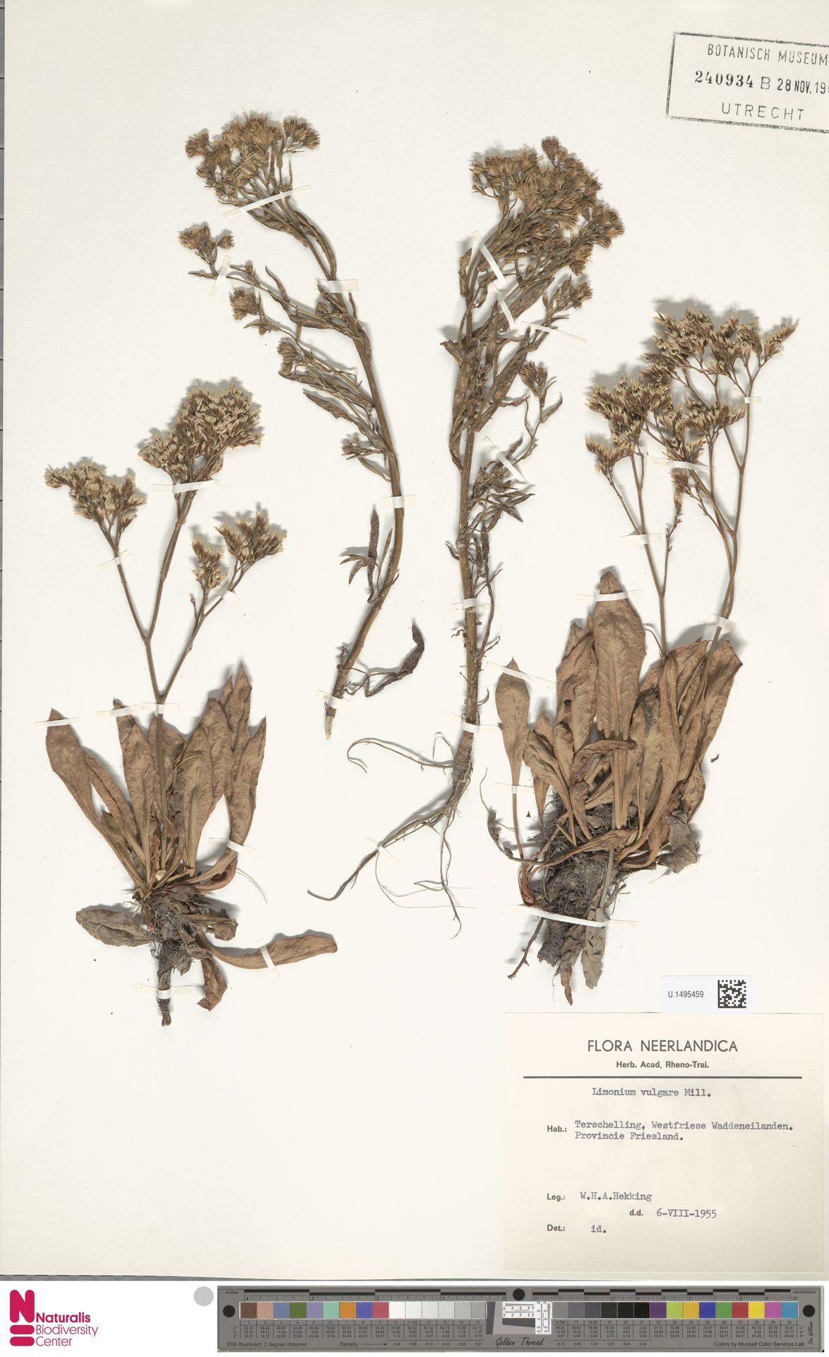 U.1495459 | Limonium vulgare Mill.