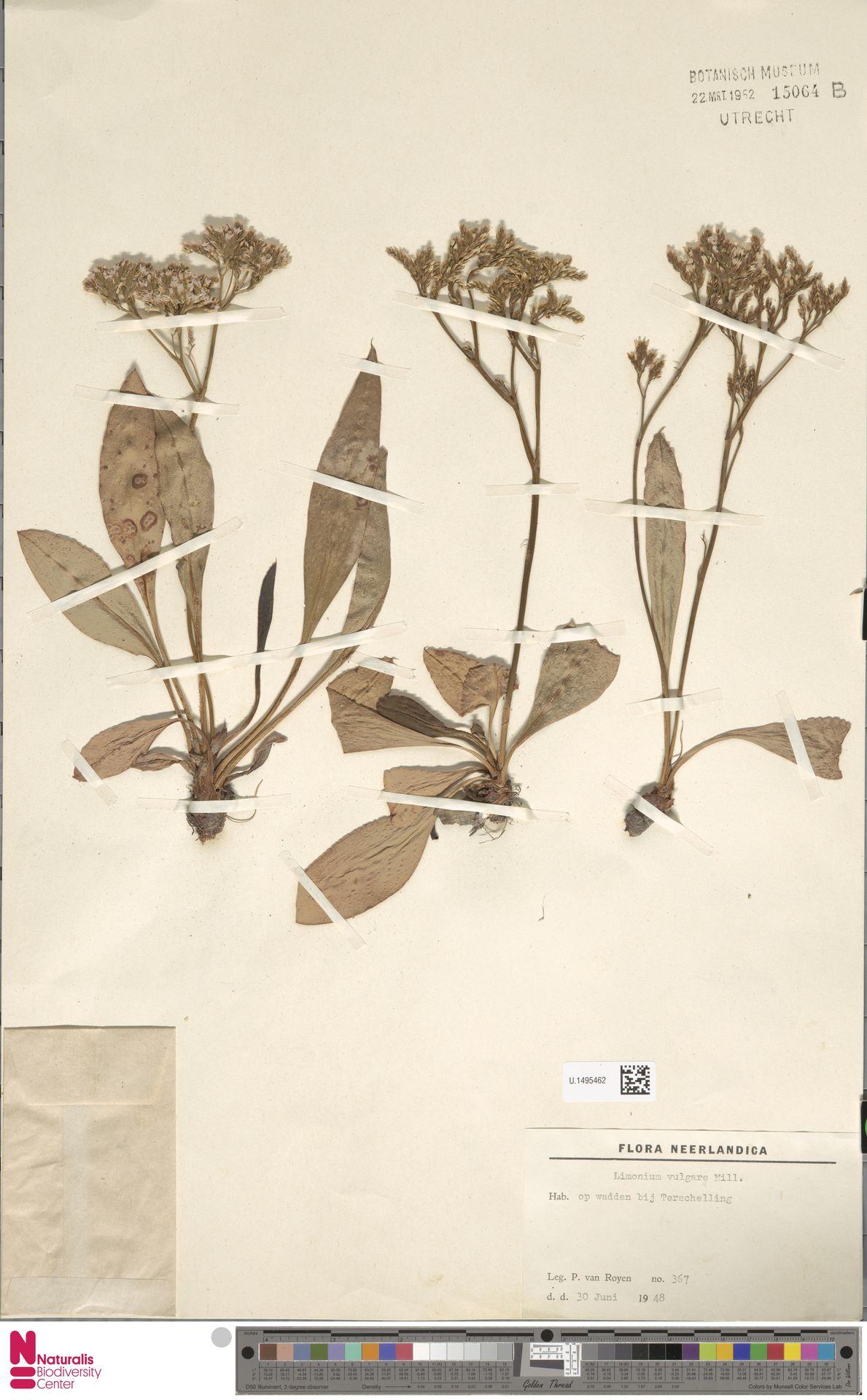U.1495462 | Limonium vulgare Mill.