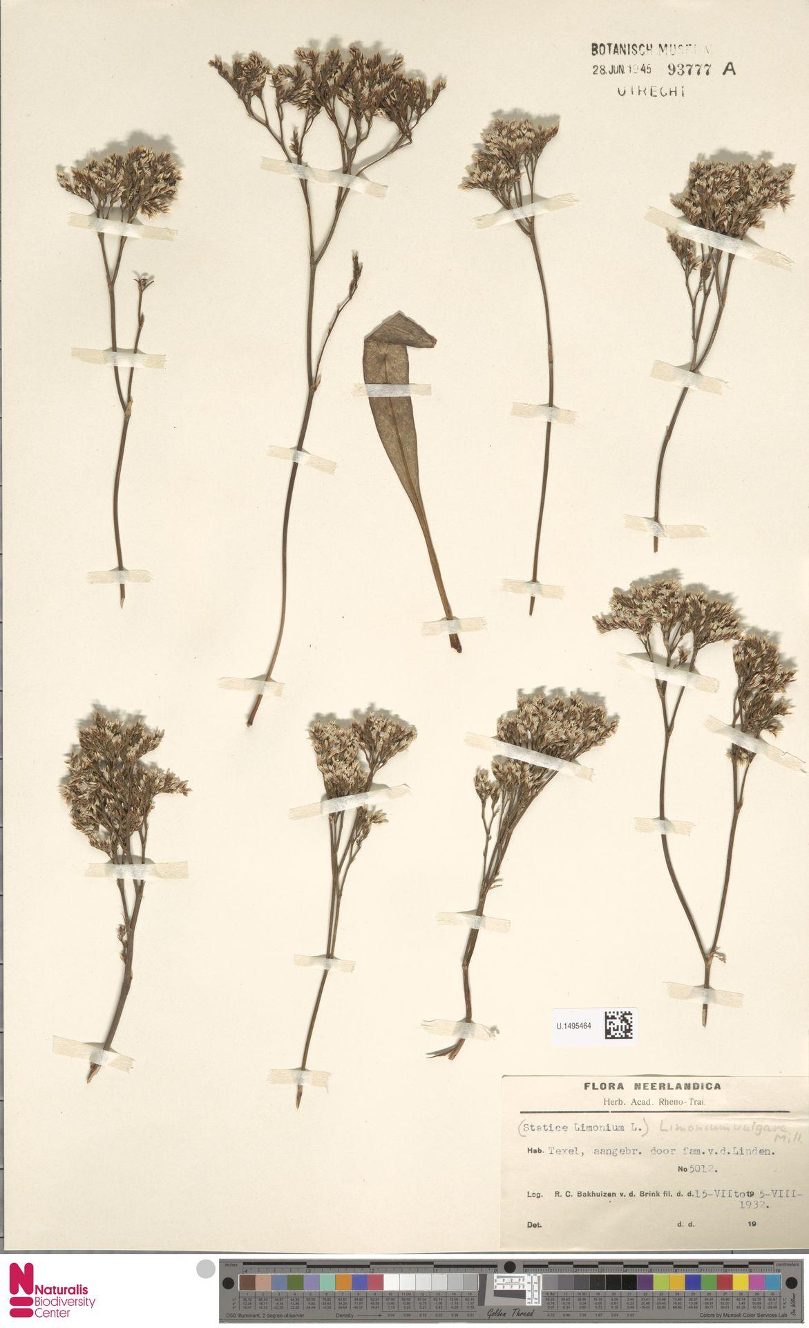 U.1495464 | Limonium vulgare Mill.