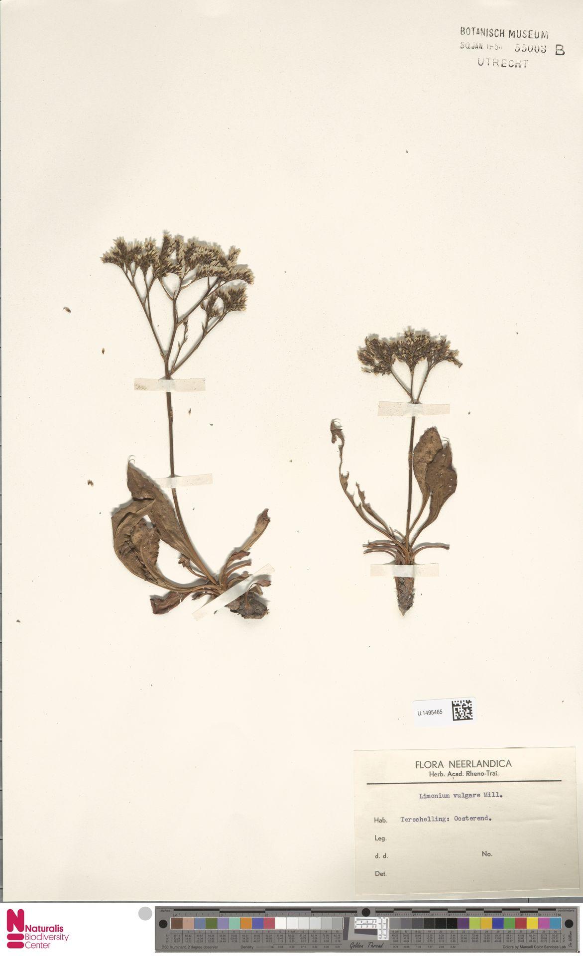 U.1495465   Limonium vulgare Mill.