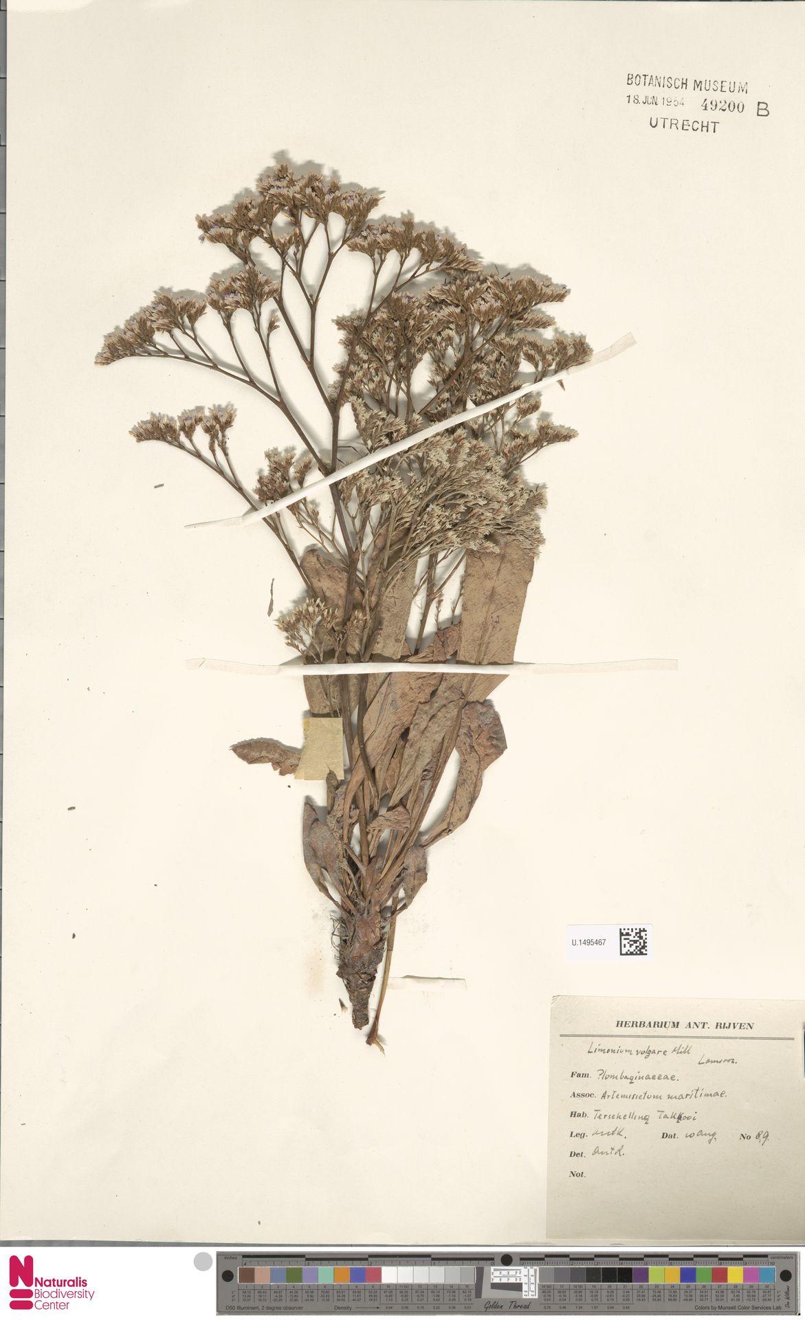U.1495467 | Limonium vulgare Mill.